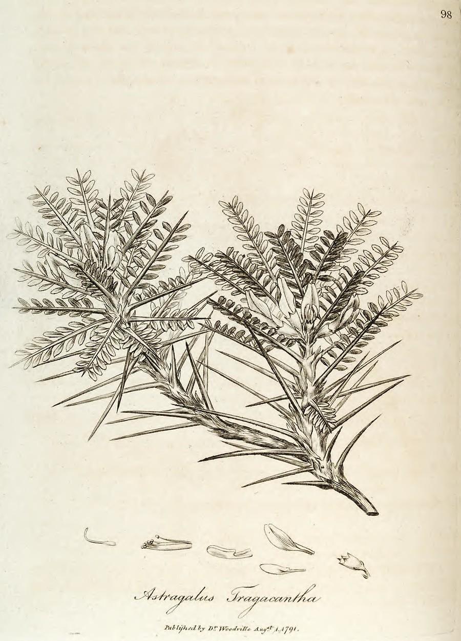 woodv-1792-098-astragalus-tragacantha.jpg