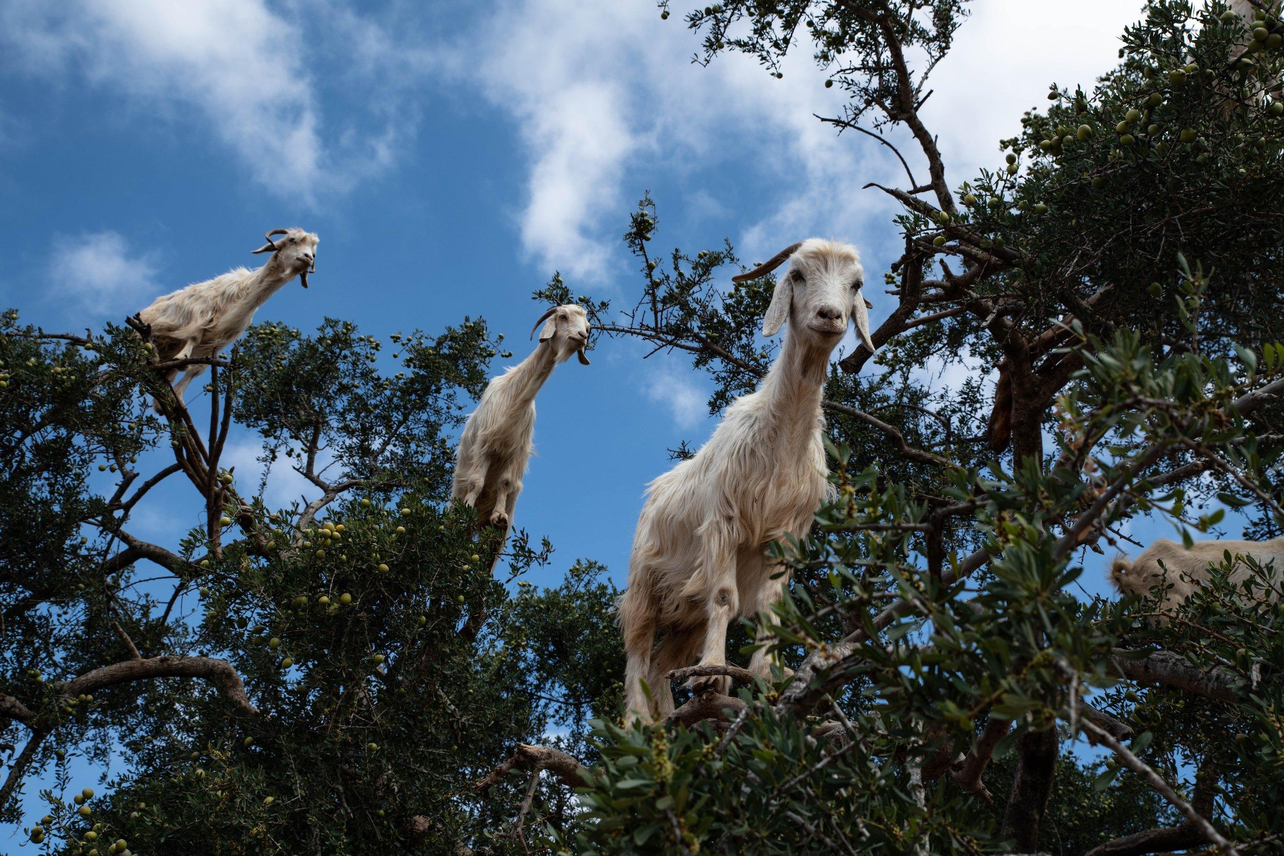 goatrees.jpg