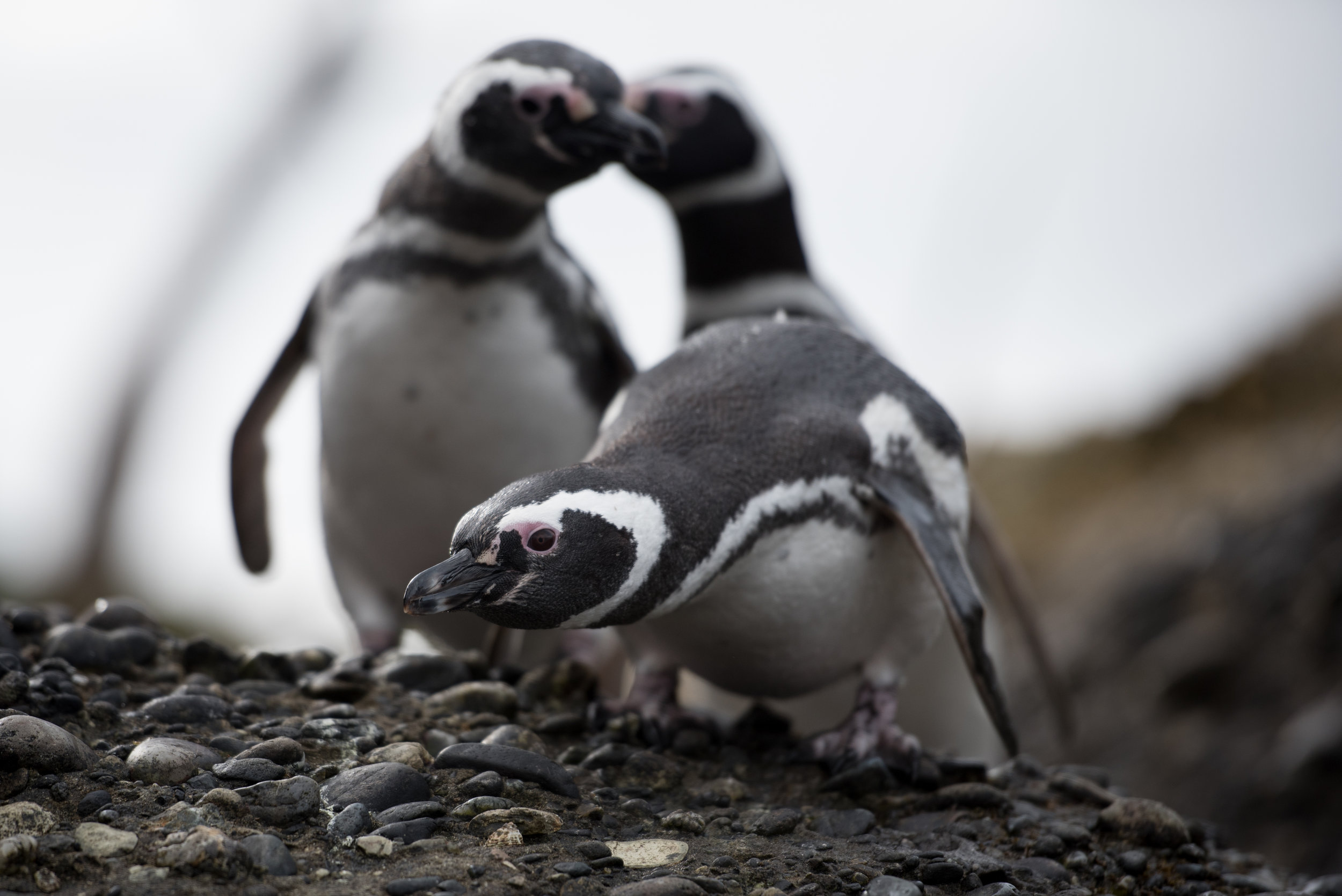 Magellanic Penguins, Tucker Islets, Chilean Patagonia