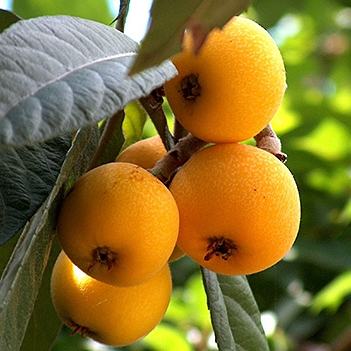 This is a loquat - (And also some leaves.)