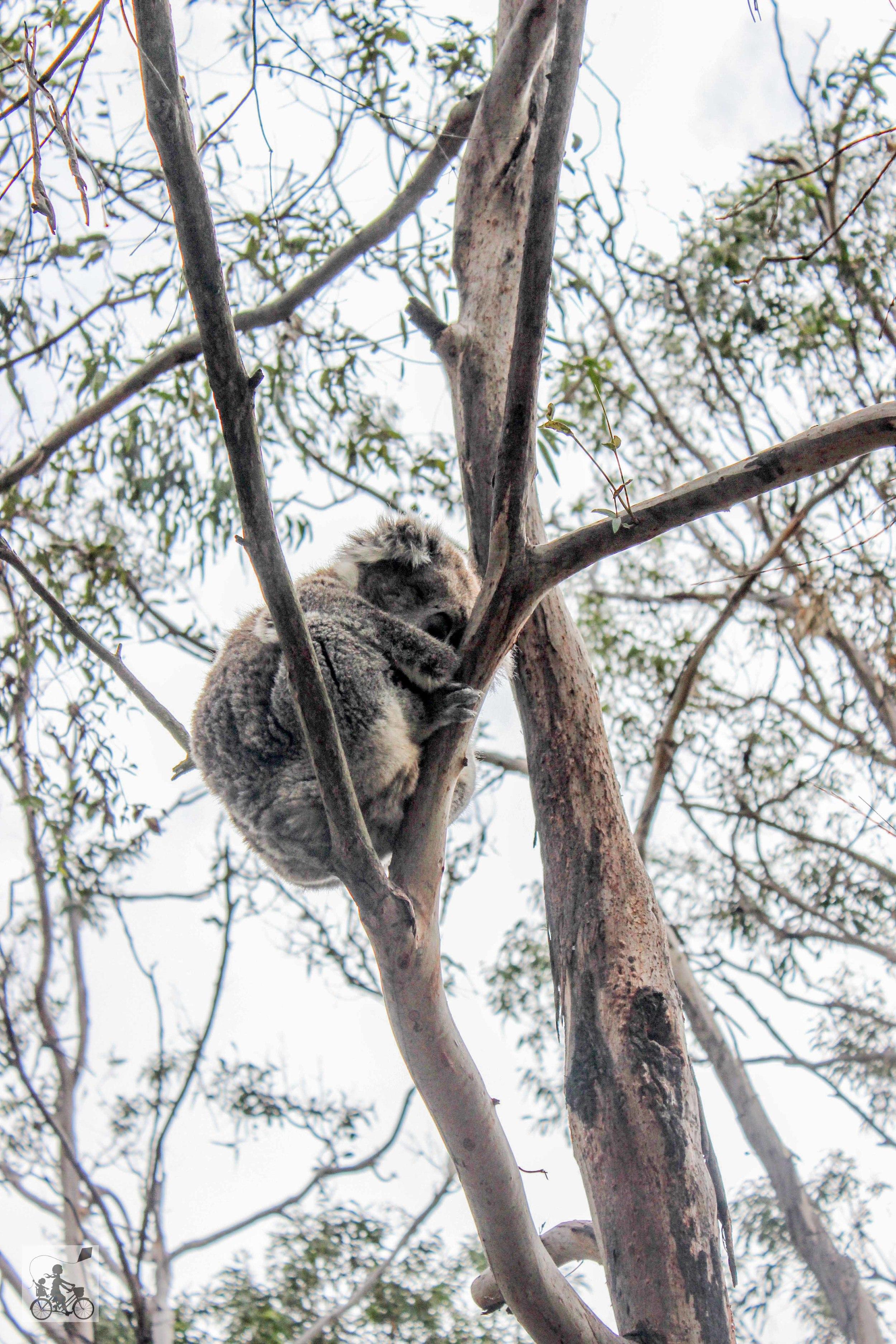 Mamma Knows East - Koala Conservation Centre