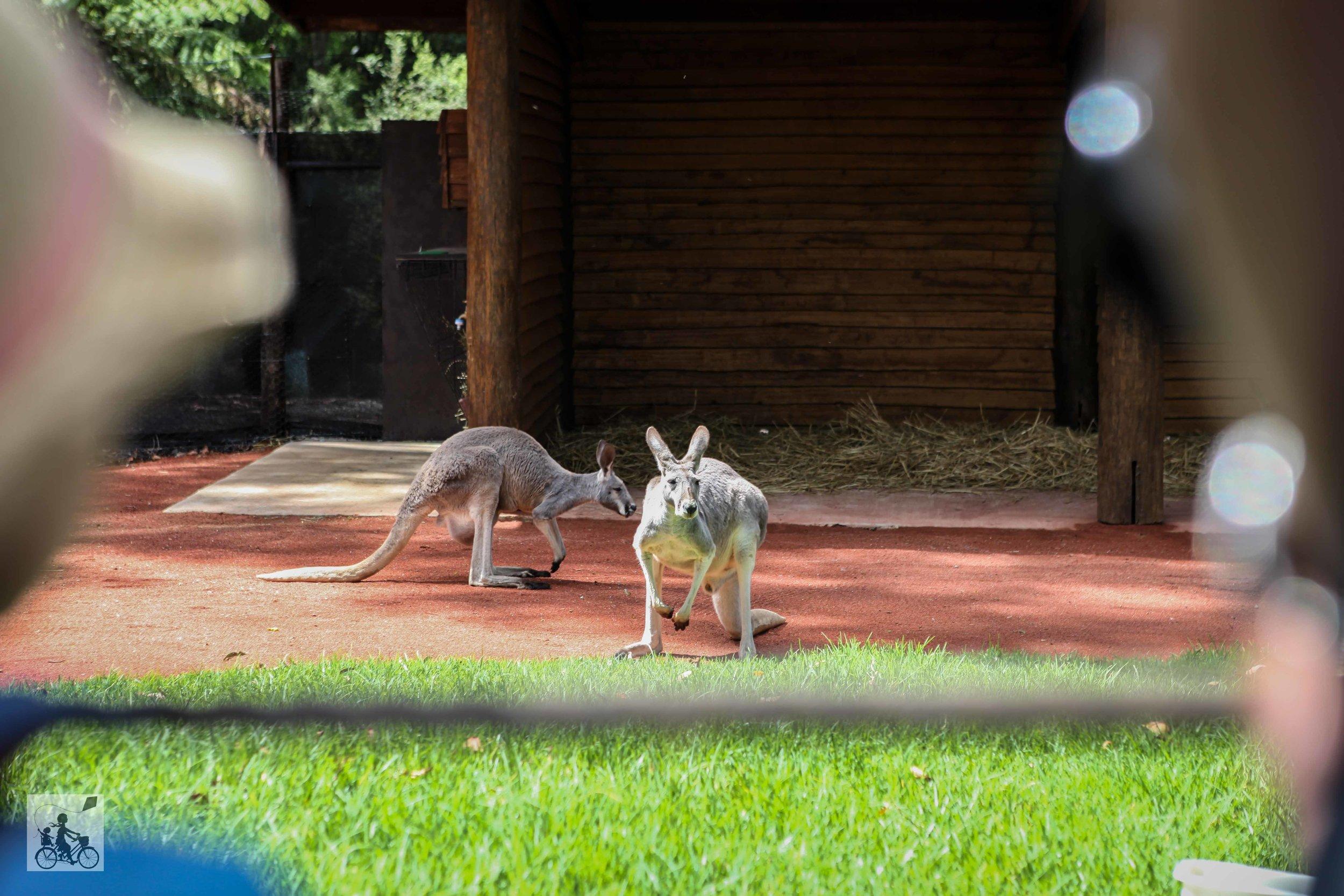 Mamma Knows East - Healesville Sanctuary Kangaroo Country (12 of 29).jpg