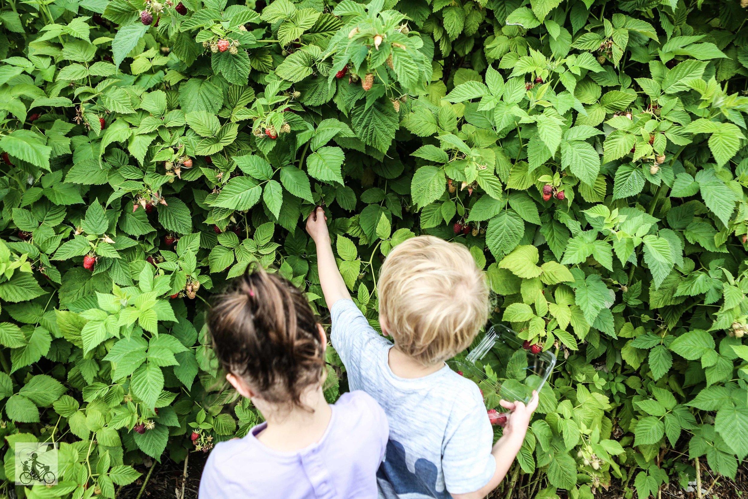 Raspberry Picking at Lavendar Farm Wandin - Mamma Knows East (17 of 38).jpg