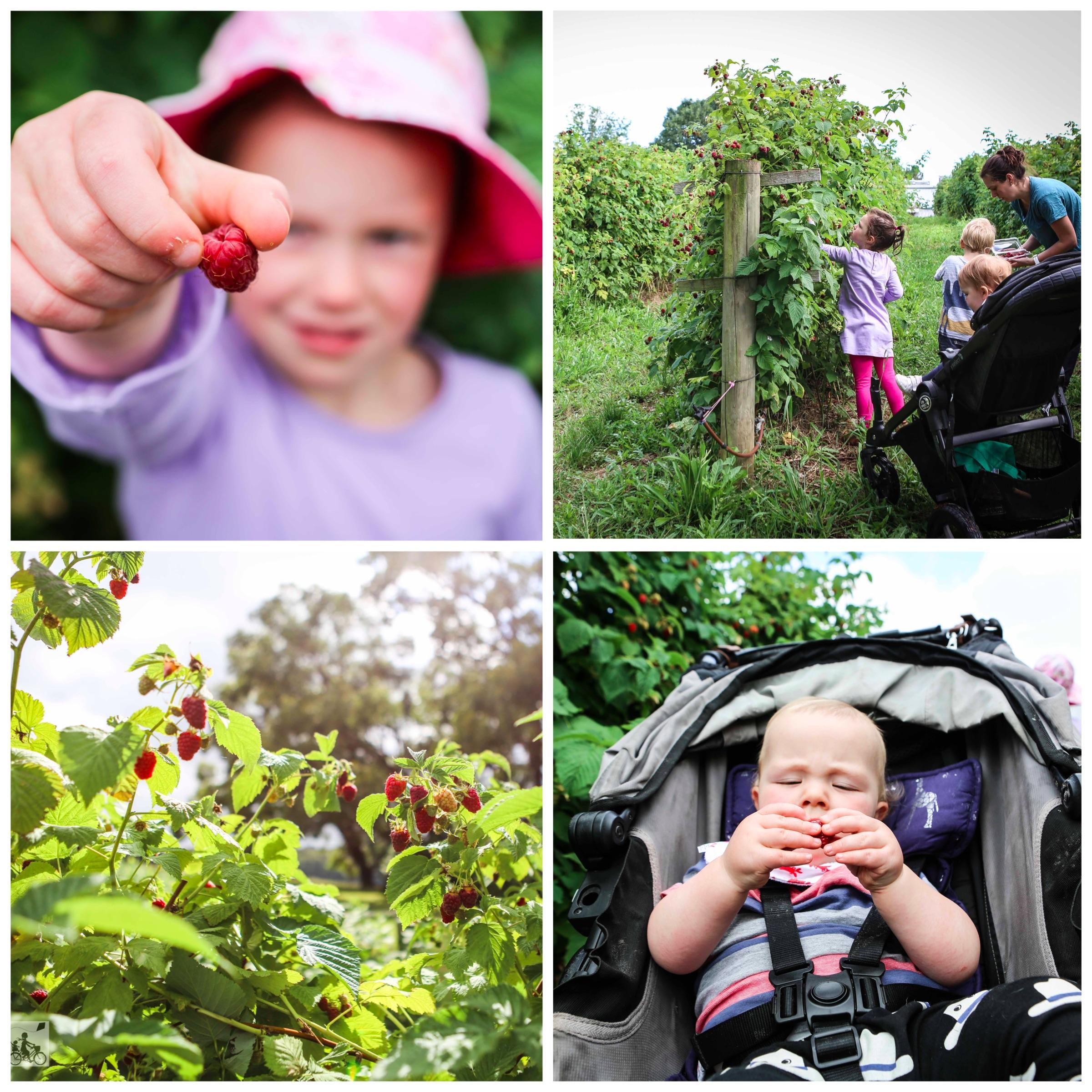 01 Raspberry Picking at Lavendar Farm Wandin - Mamma Knows East (1 of 38).jpg