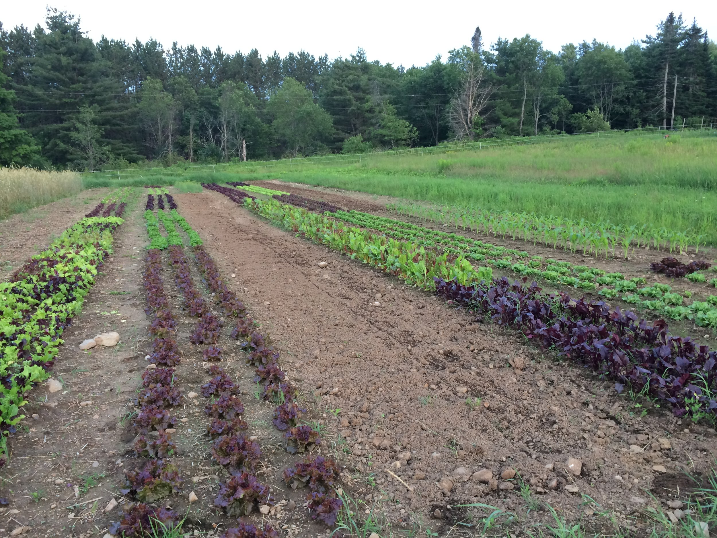 Lettuces, beet & chard greens, and herbs