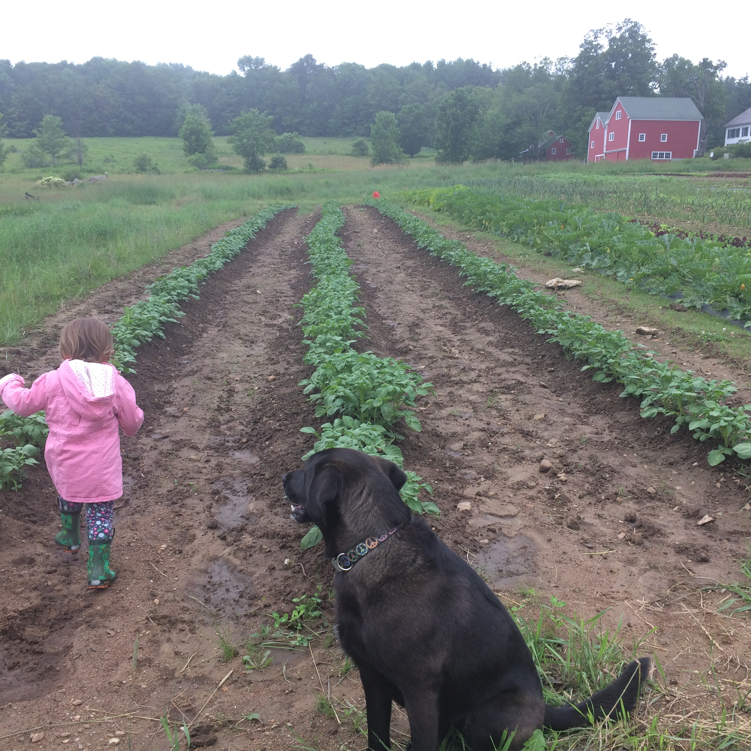 Ella and Murphy survey the potatoes, growing nicely