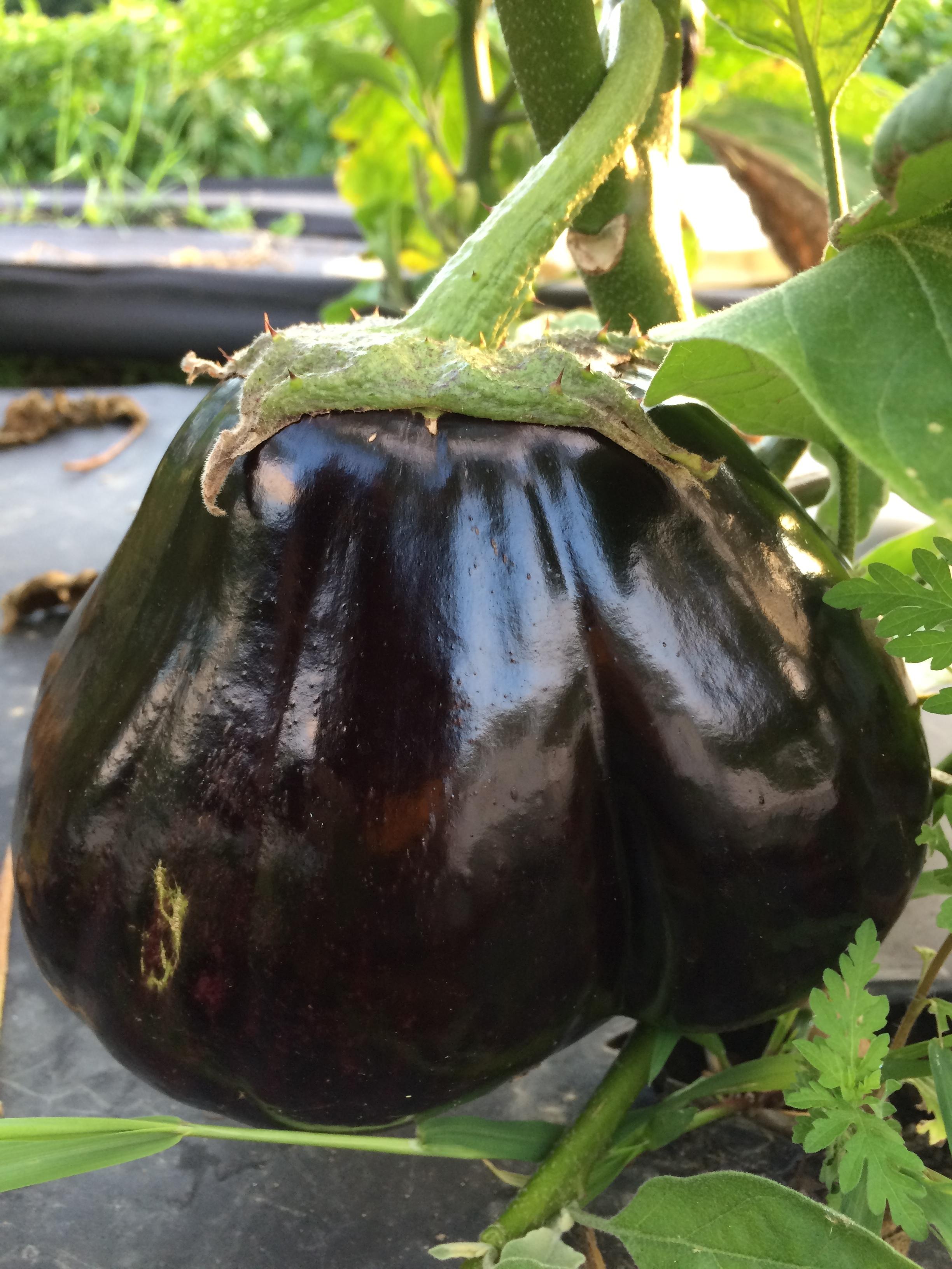 "a ""twin"" eggplant"