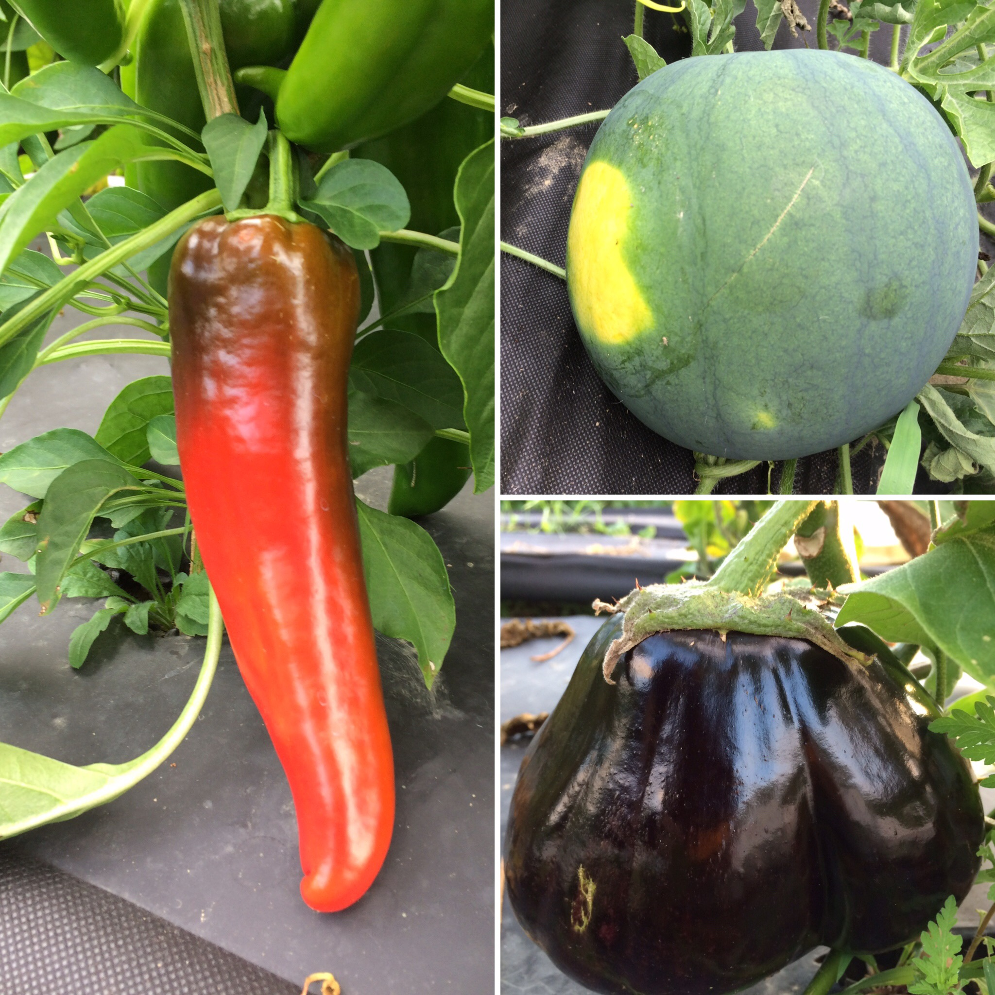 Peppers turning red, melons ripening, and lots of eggplant this week!