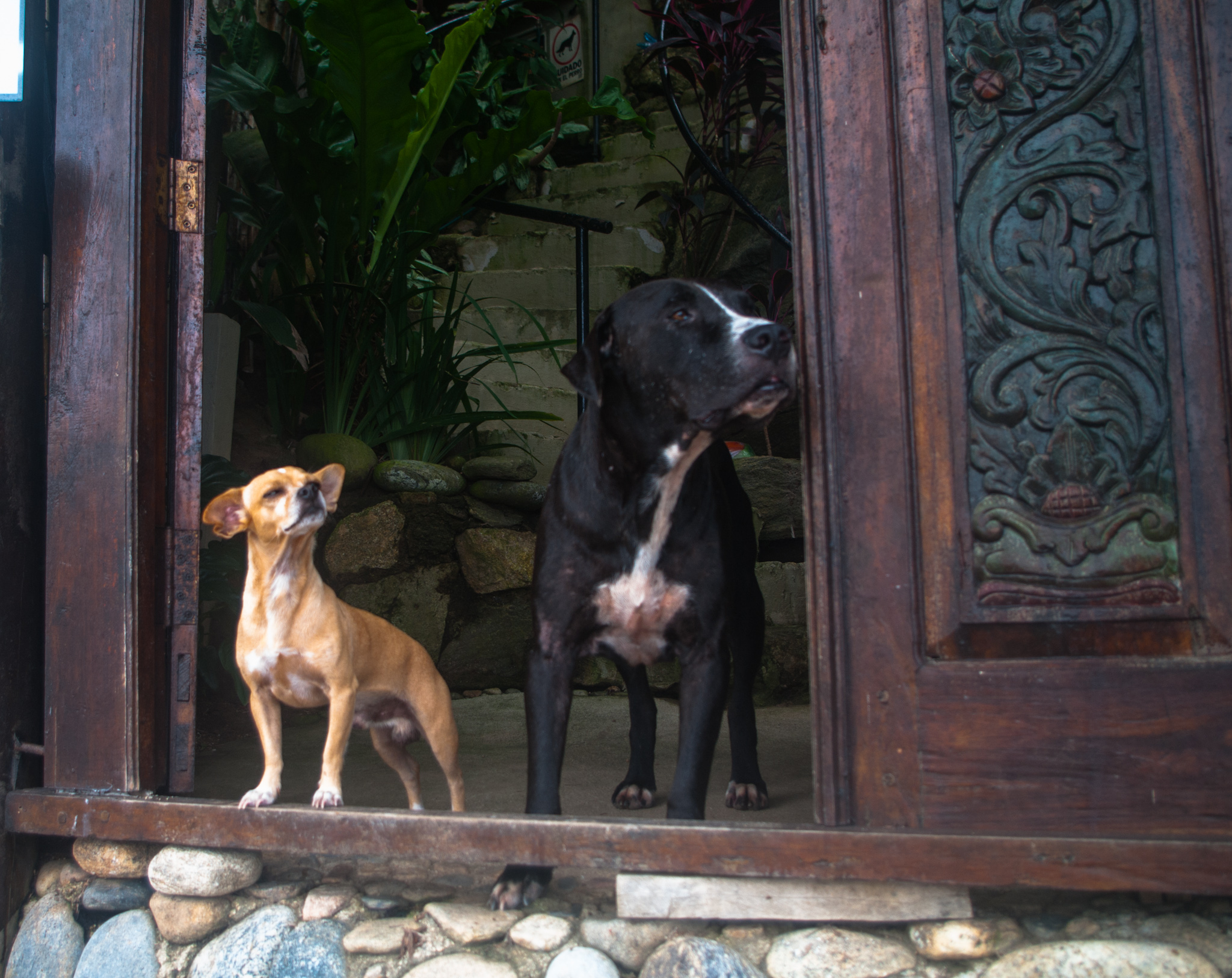 yelapa dogs.jpg