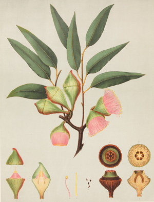 17 Flora Captured: Reproduction - Eucalyptus pyriformis: MELISSA WATTS    riformis , 1888, Plate 36 from  The Forest Flora of South Australia , Part 8, chromolithograph, 55 x 42.6 cm: Collection: Art Gallery of Ballarat; purchased with funds from the Hilton White Bequest, 2011   18 books: Marita Bullock, Memory of Fragments: Visualising Difference in Australian History: LOUISE MARTIN-CHEW