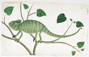9 Diamonds are forever  Cape Town: Halfway to Sydney 1788 -1870    Artist unknown,  Chameleon , from the William Paterson album, 1777–79, watercolour. The Brenthurst Library, Johannesburg