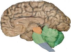 the reptilian brain - brainstem and cerebellum