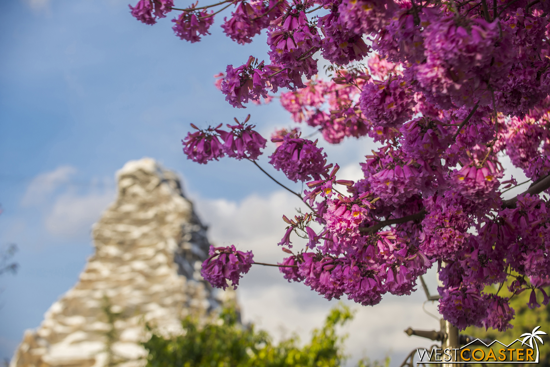The tabebuia blooms were even and spectacularly vivid this year!