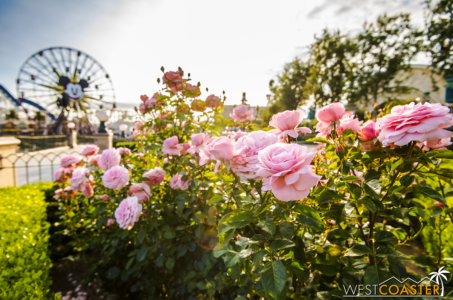 The roses in Paradise Park turned out exquisitely too.