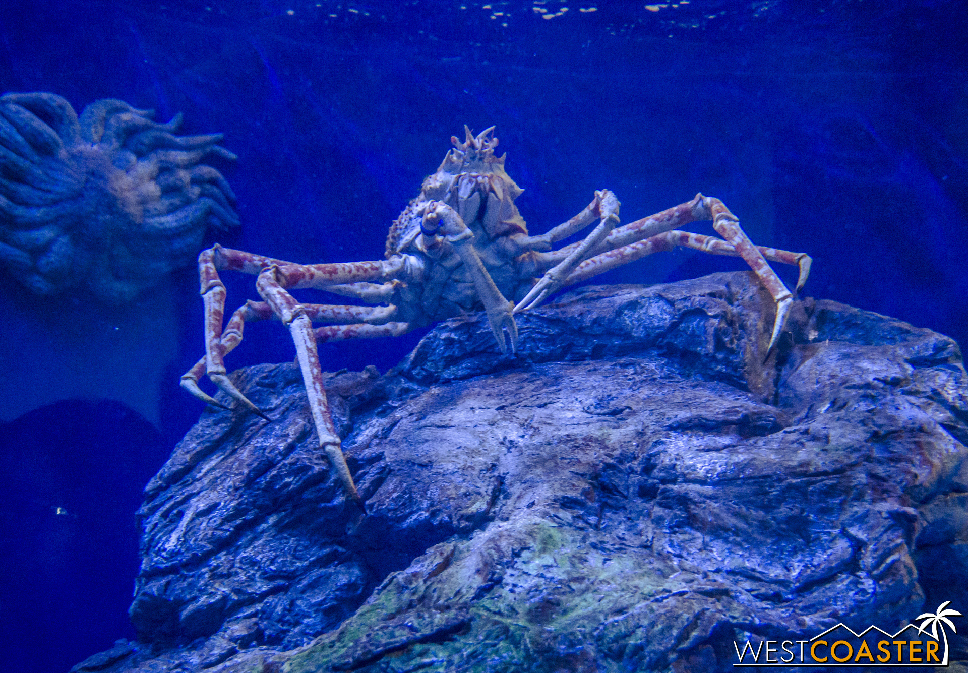 Giant Japanese Spider Crabs stand guard in the Northern Pacific gallery.