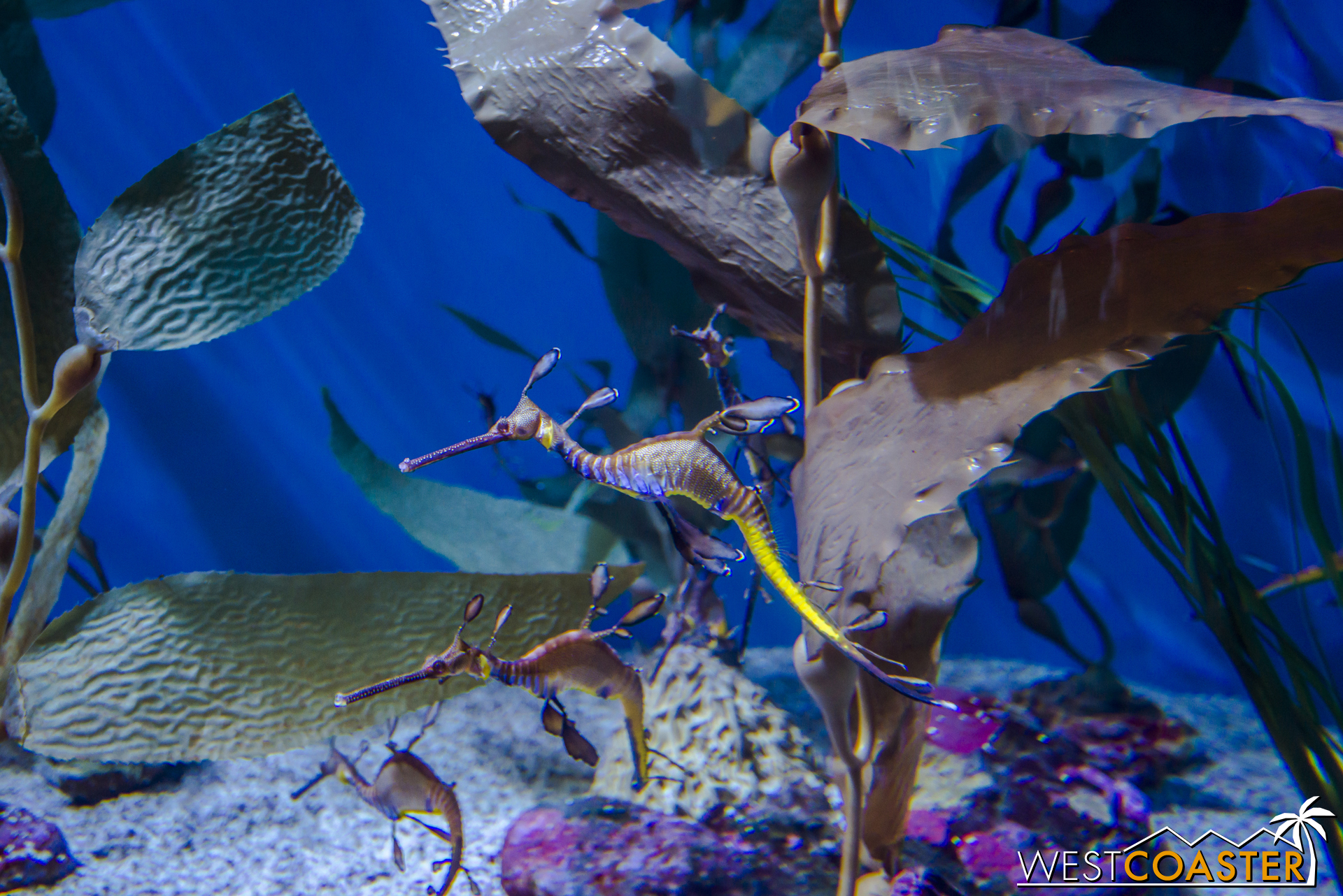 A Weedy Seadragon floats around in a tank in the Tropical Pacific area.