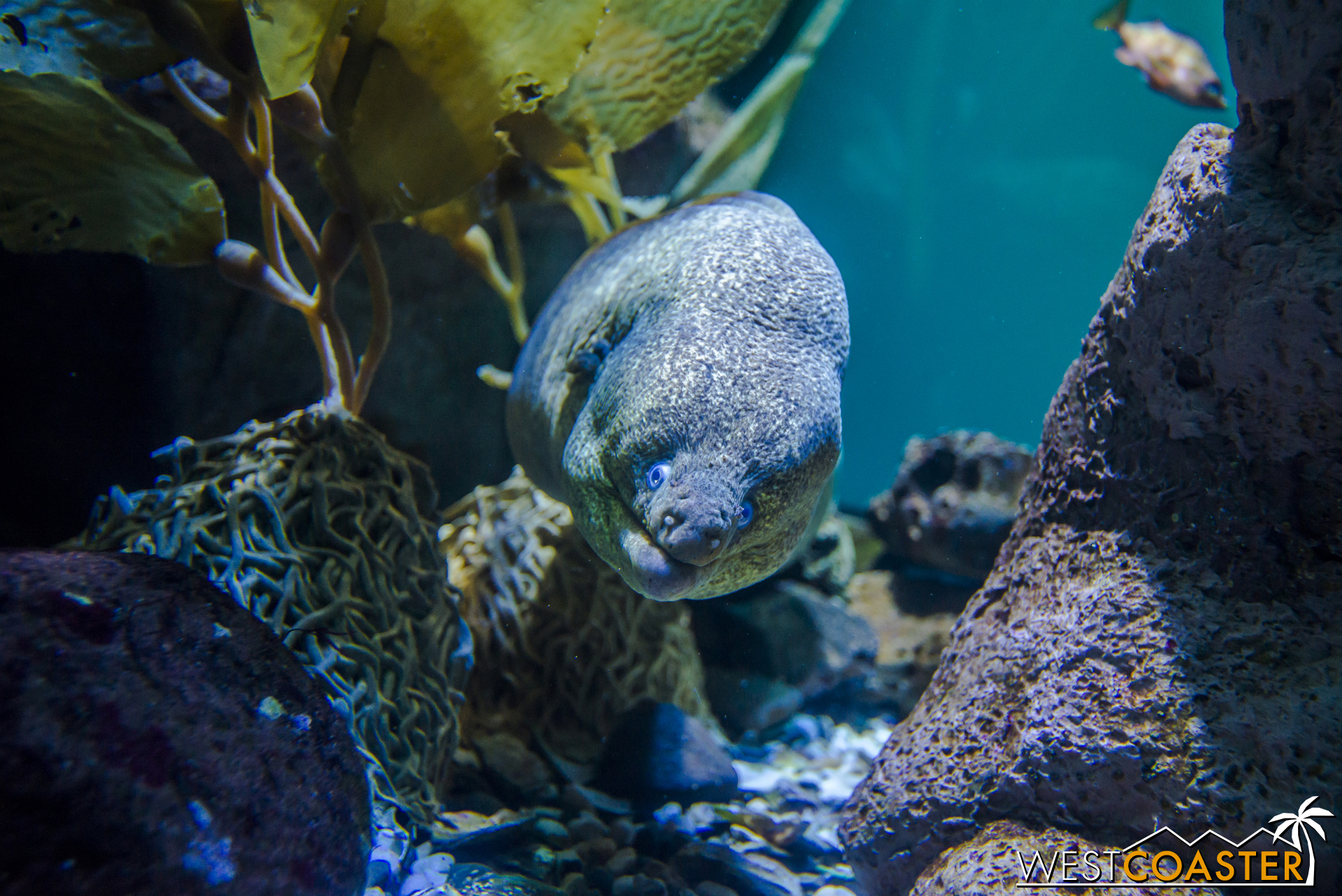 A California Moray Eel can be found in the Northern Pacific section.