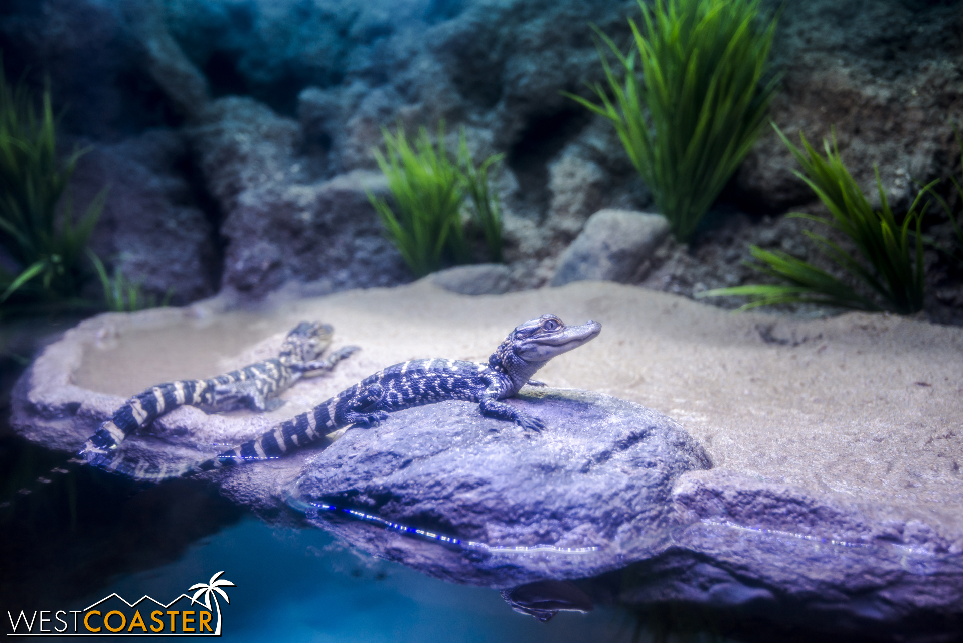 Here's an American Alligator. A small one.