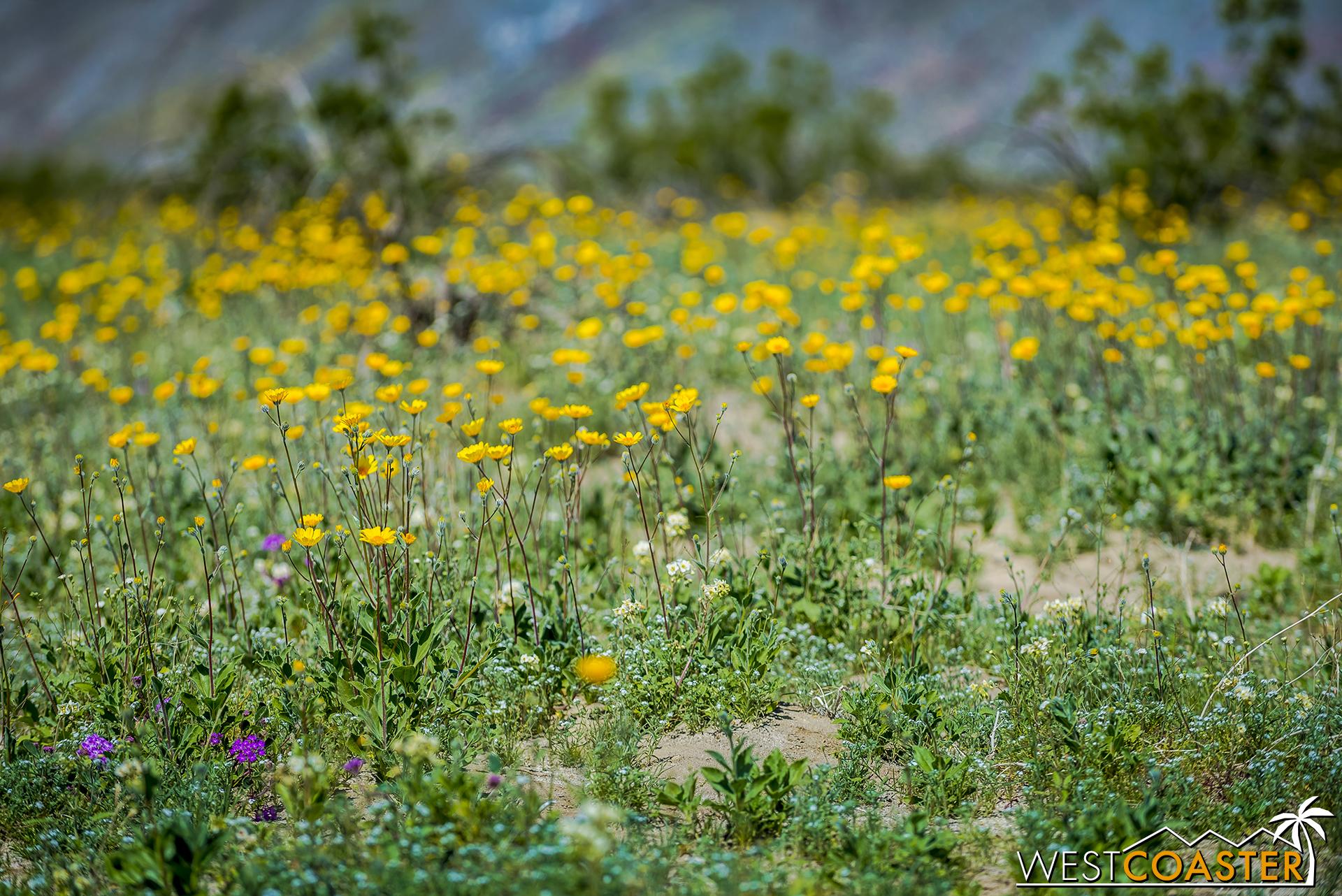 BorregoSprings-17_0316-B-Flowers-0013.jpg