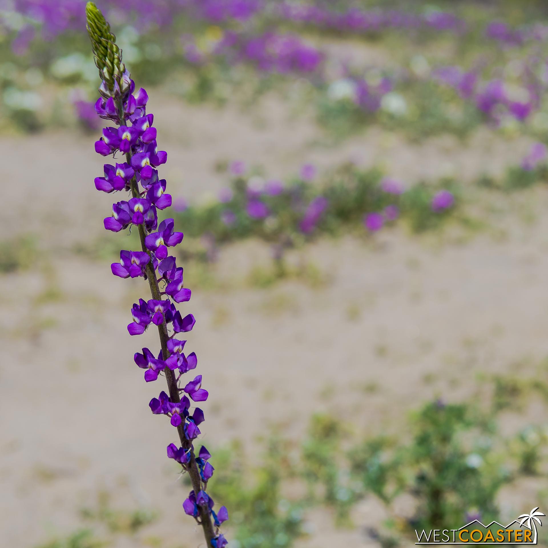 BorregoSprings-17_0316-B-Flowers-0023.jpg