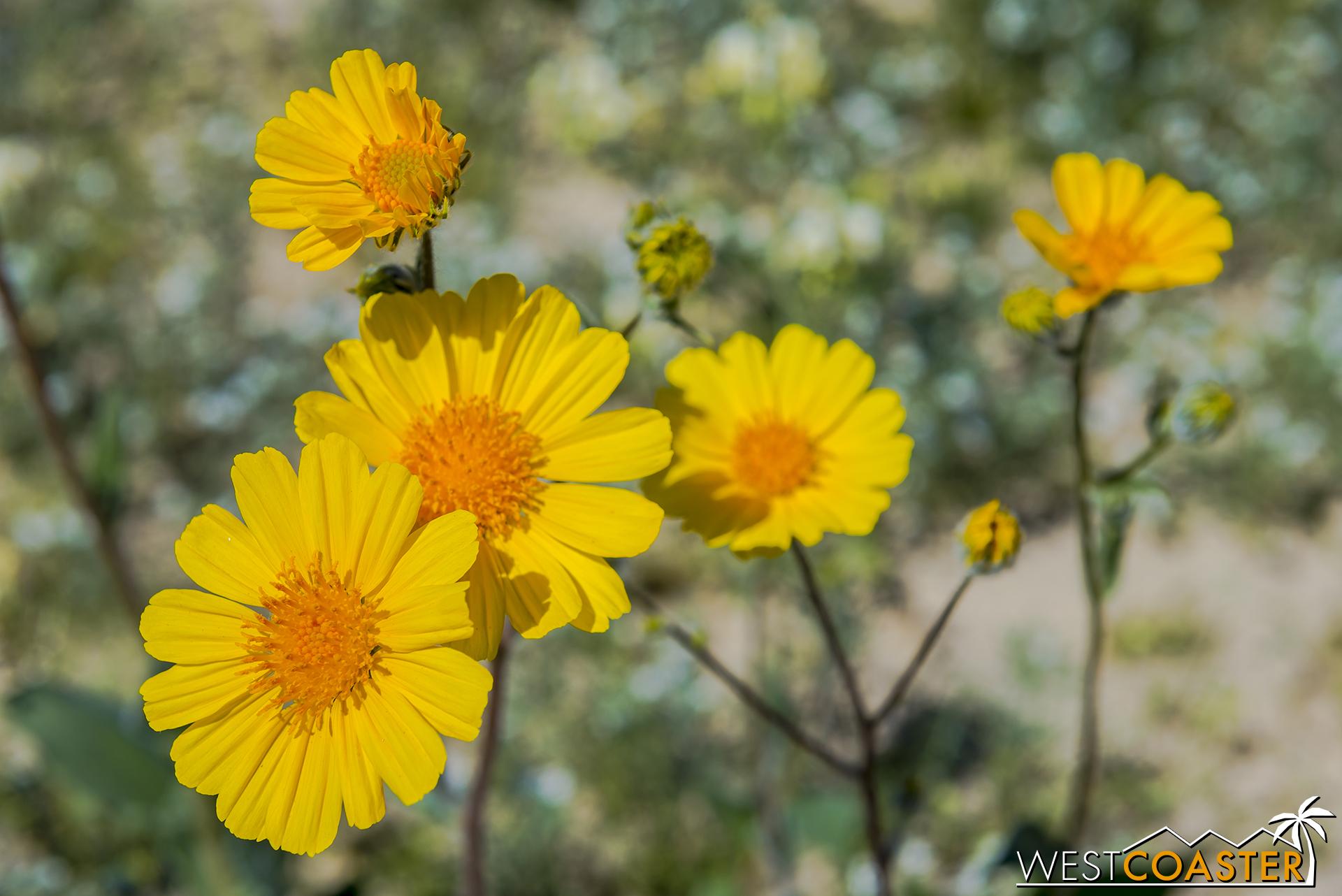 Desert sunflowers up close.