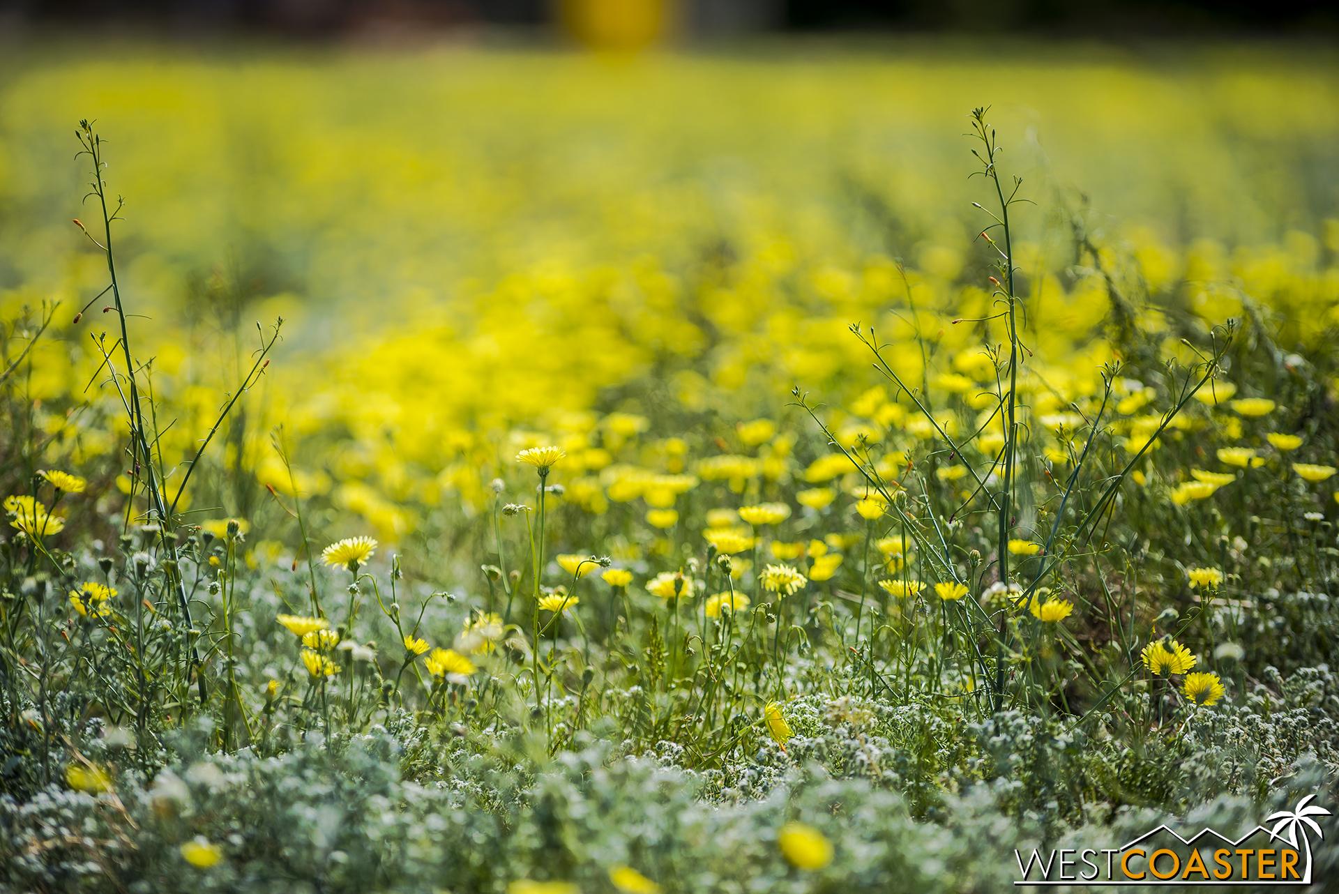 Desert dandelions in shallow depth of field.