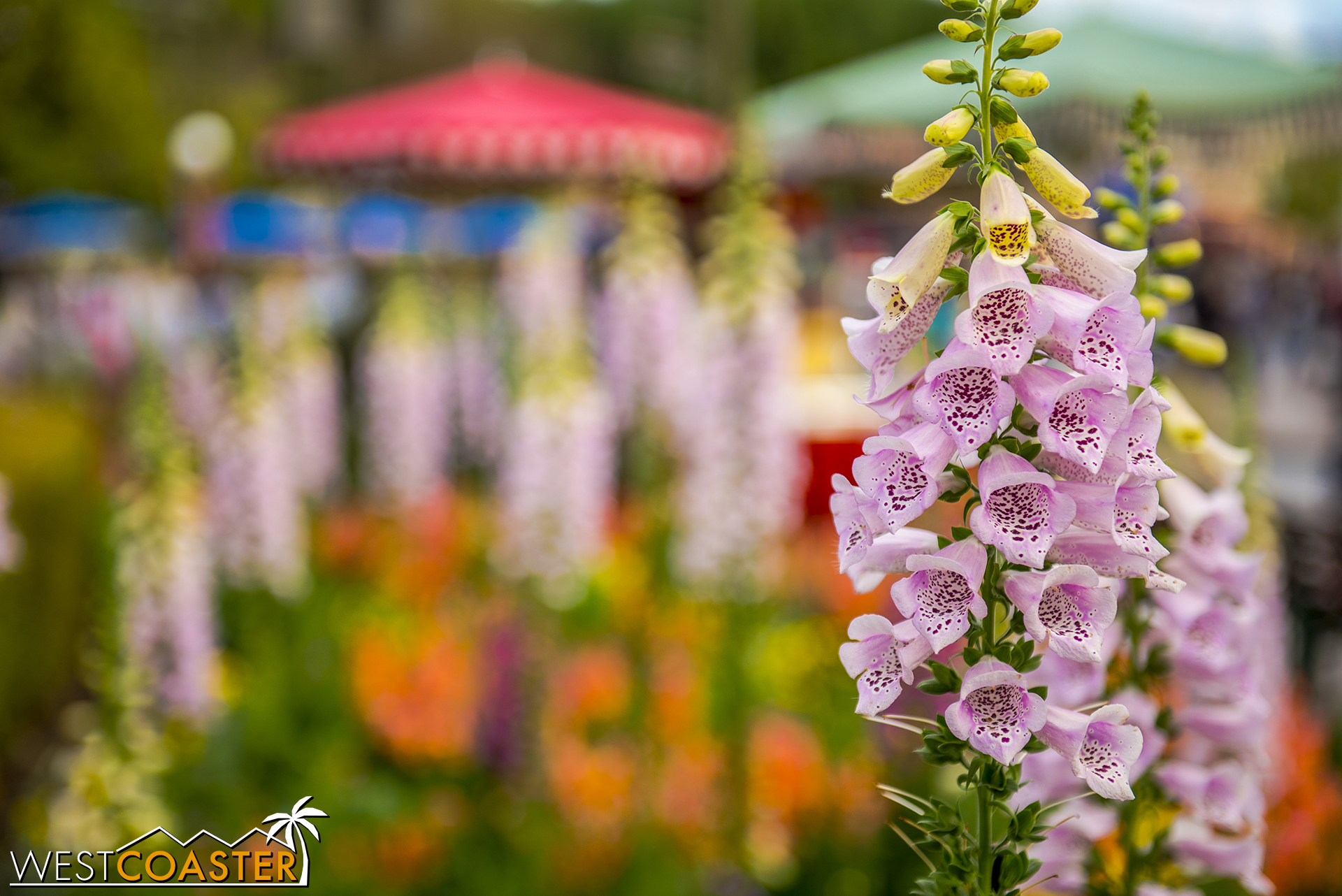 Foxgloves are also the flower of choice during this time of year too, providing beautiful photo ops.