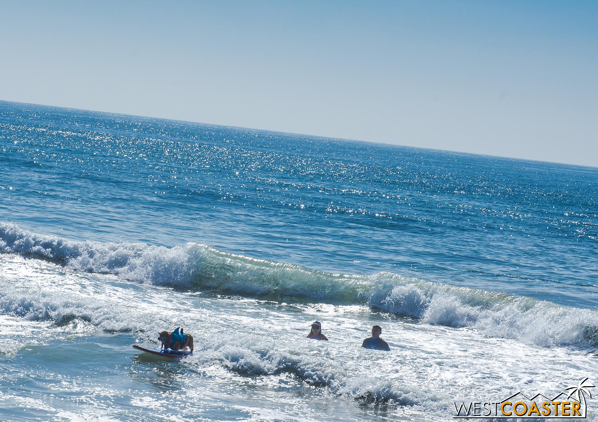 Super Corgi Jojo surfed the waves in Huntington Beach.