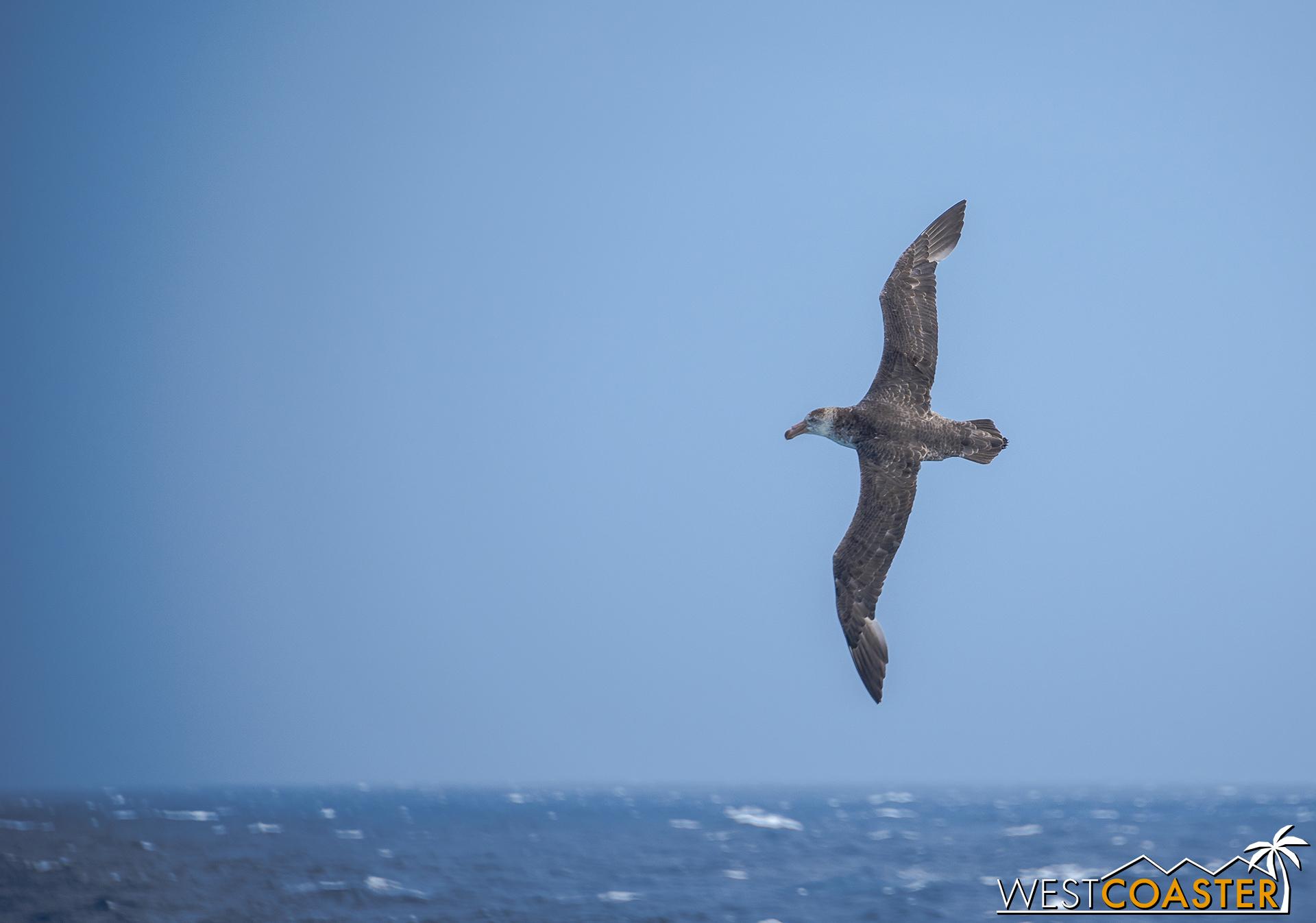 A Wandering Albatross spreads its wings over the ocean waters.