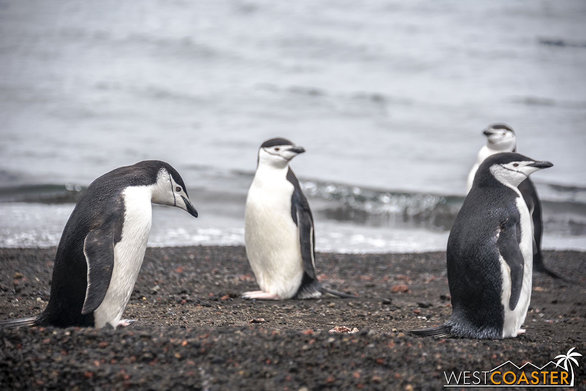 Chinstrap penguins are characterized by the thin black band that goes under their beaks. Like a chinstrap.