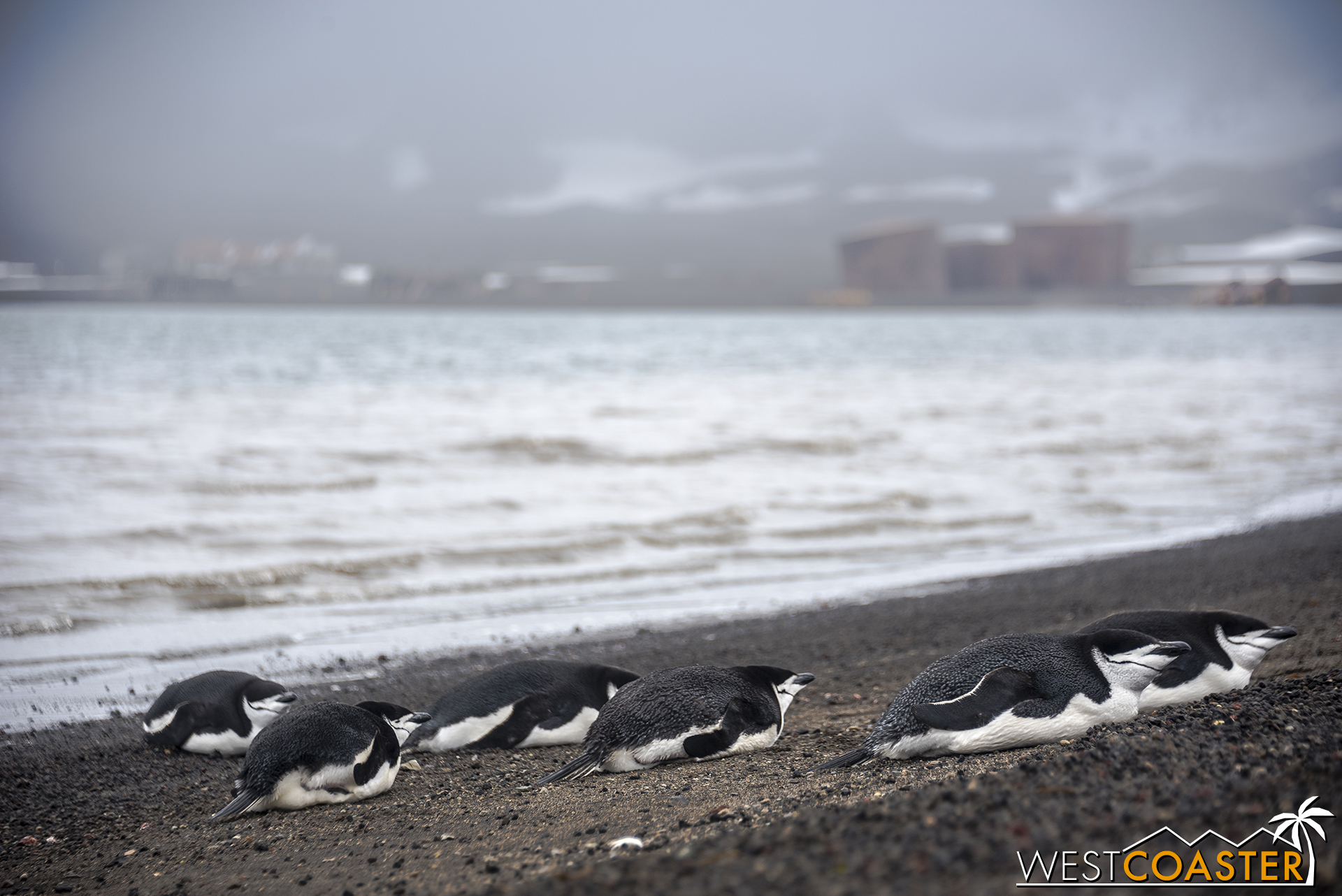 Back on the beach, numerous chinstrap penguins rest.
