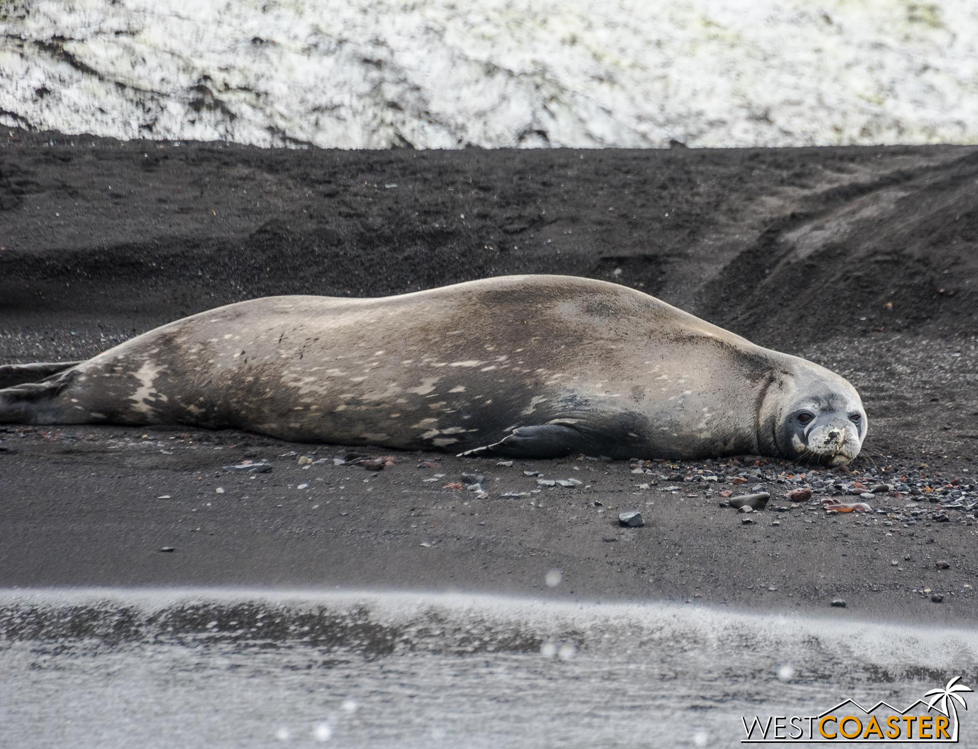 A Weddell seal lies along the warm sand.