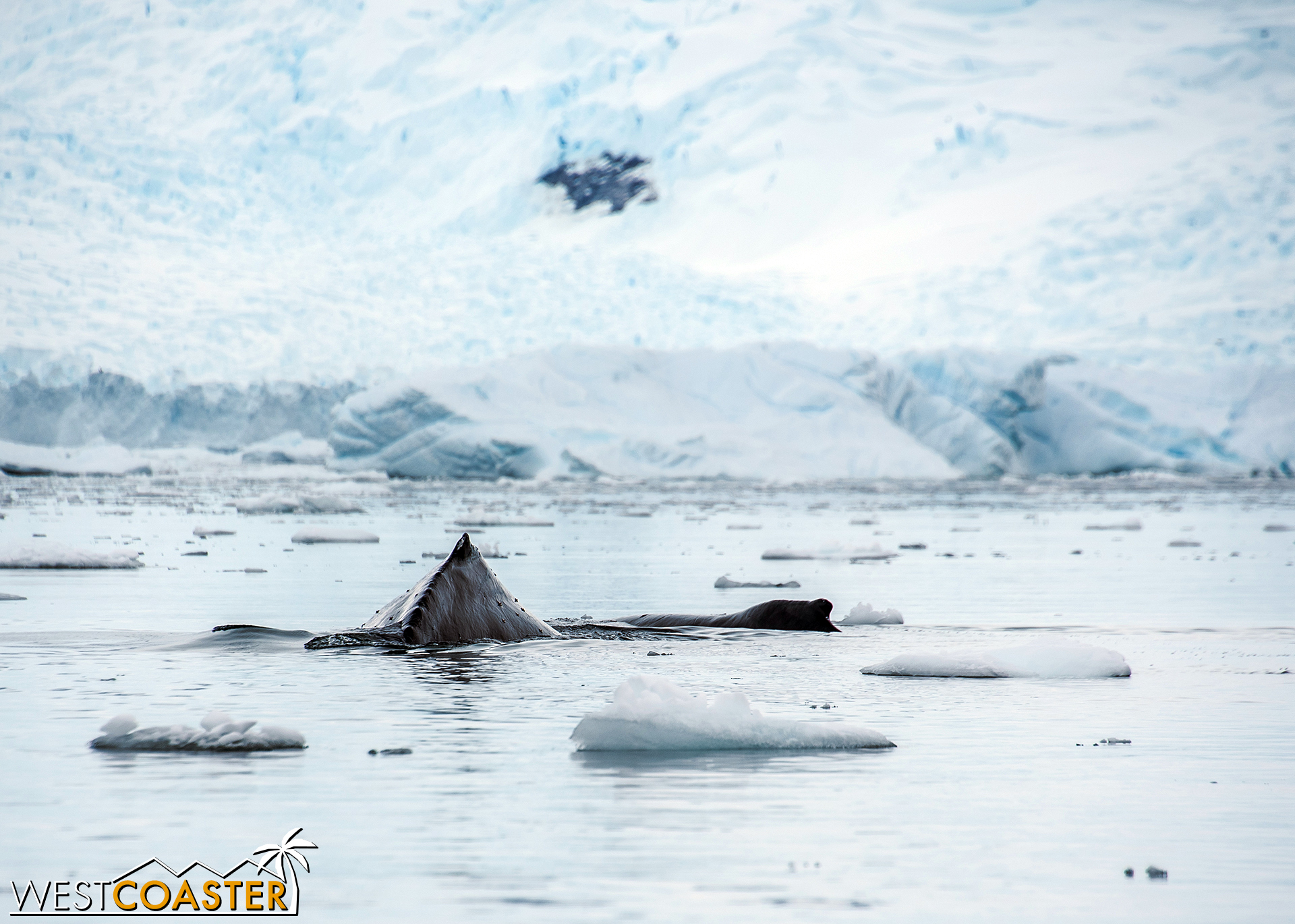 A second humpback joins the scene.