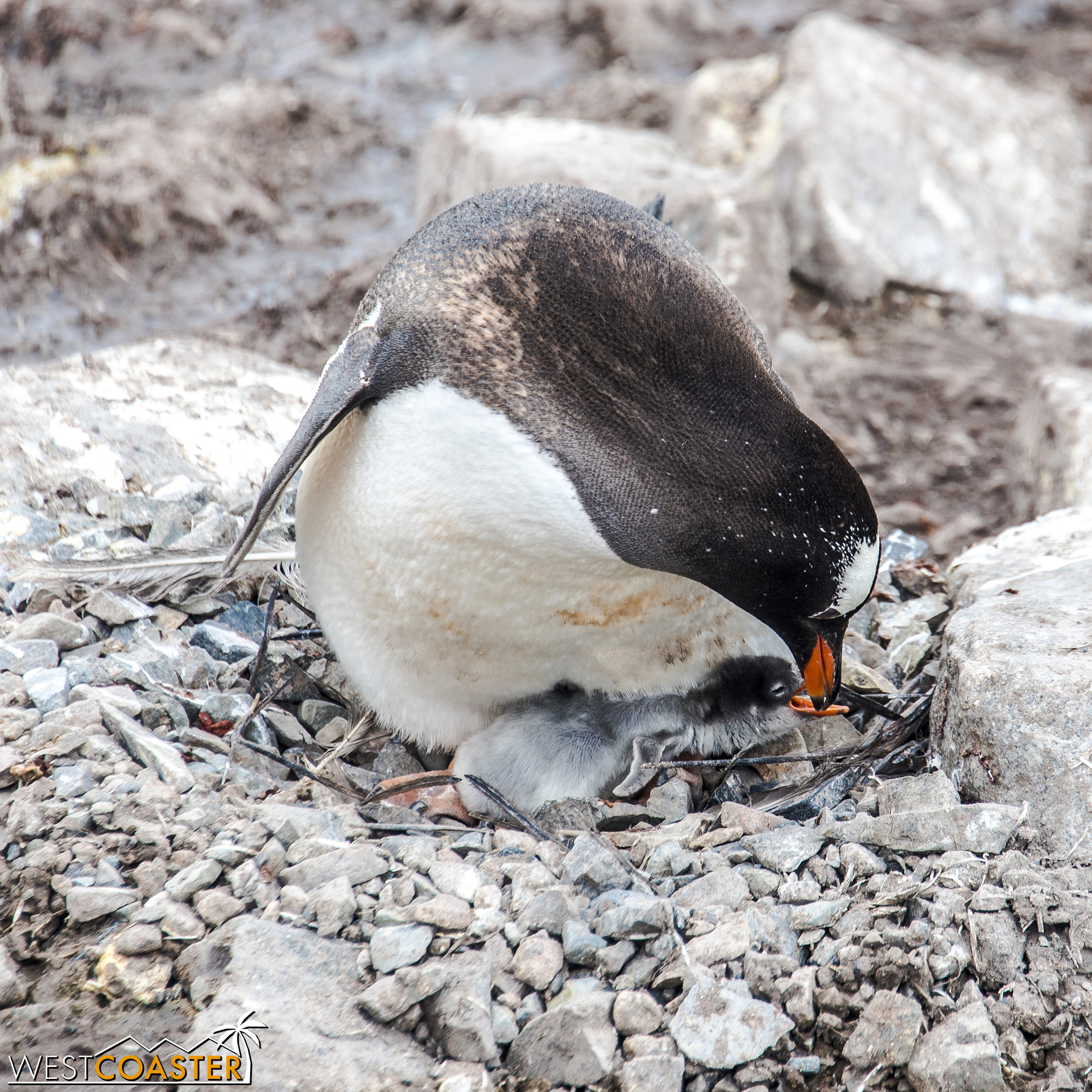 This baby penguin is likely no more than a week old.