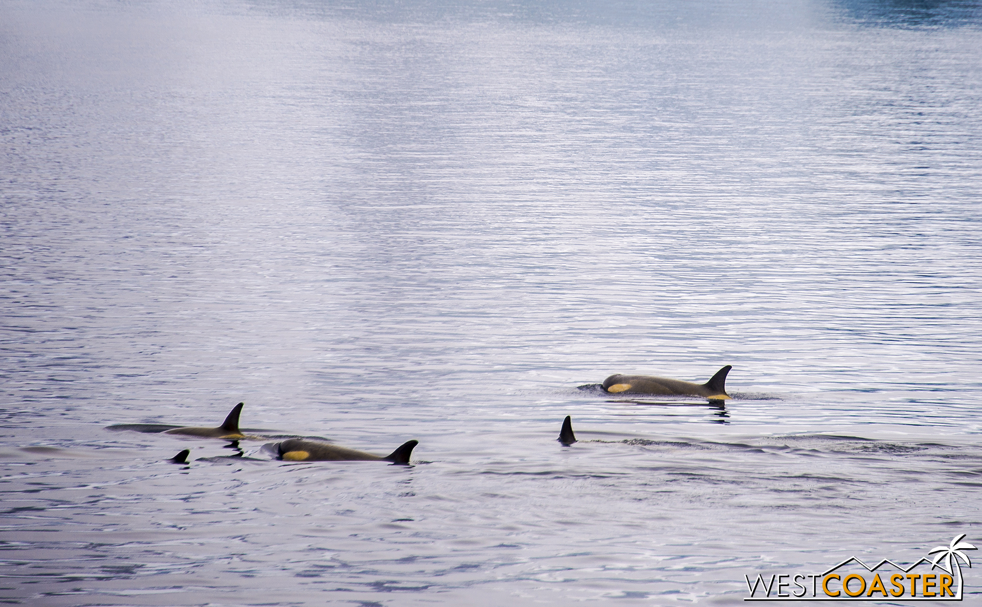The killer whales in a casual mood, drifting along.