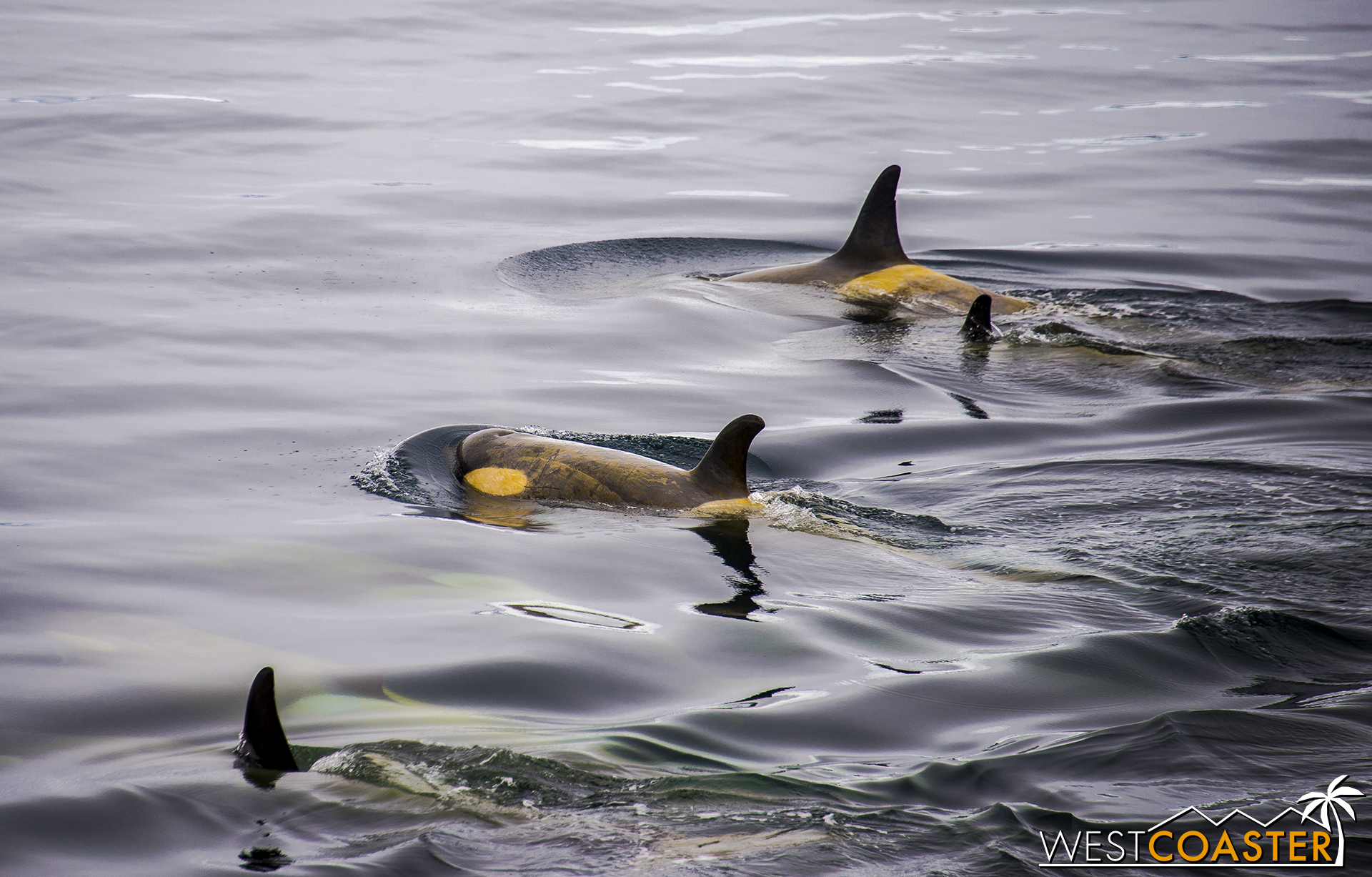 Orcas in Antarctica are more black and yellow (black and yellow) than black and white. The coloring is due to an algal growth on their skin while they're in Antarctic waters.