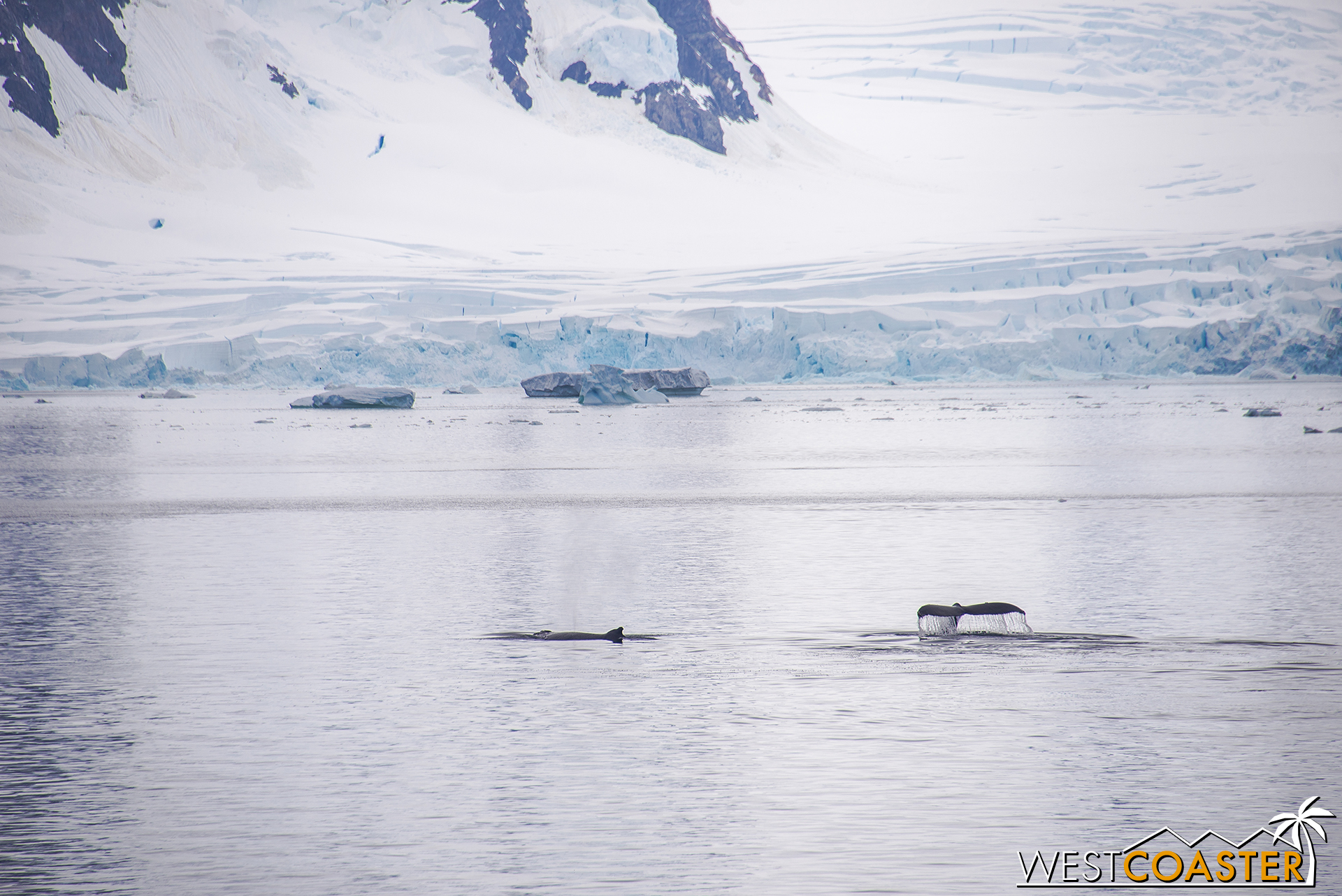 A pair of humpback whales in the distance, after the orcas have left.