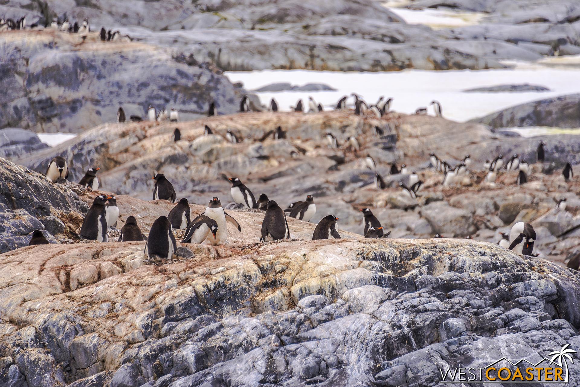 So many penguins...
