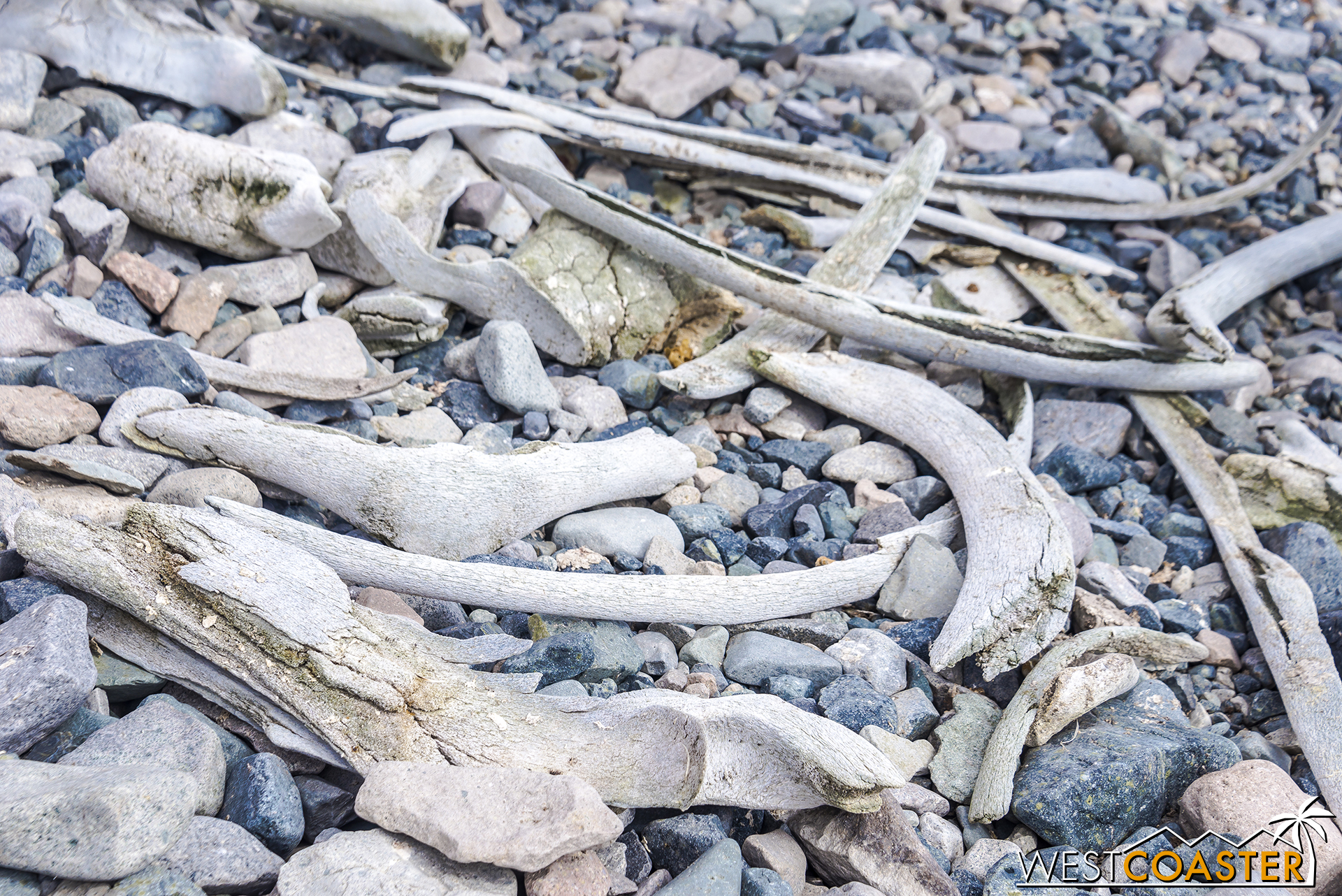 Whalebones are scattered among the rocks of the coast.