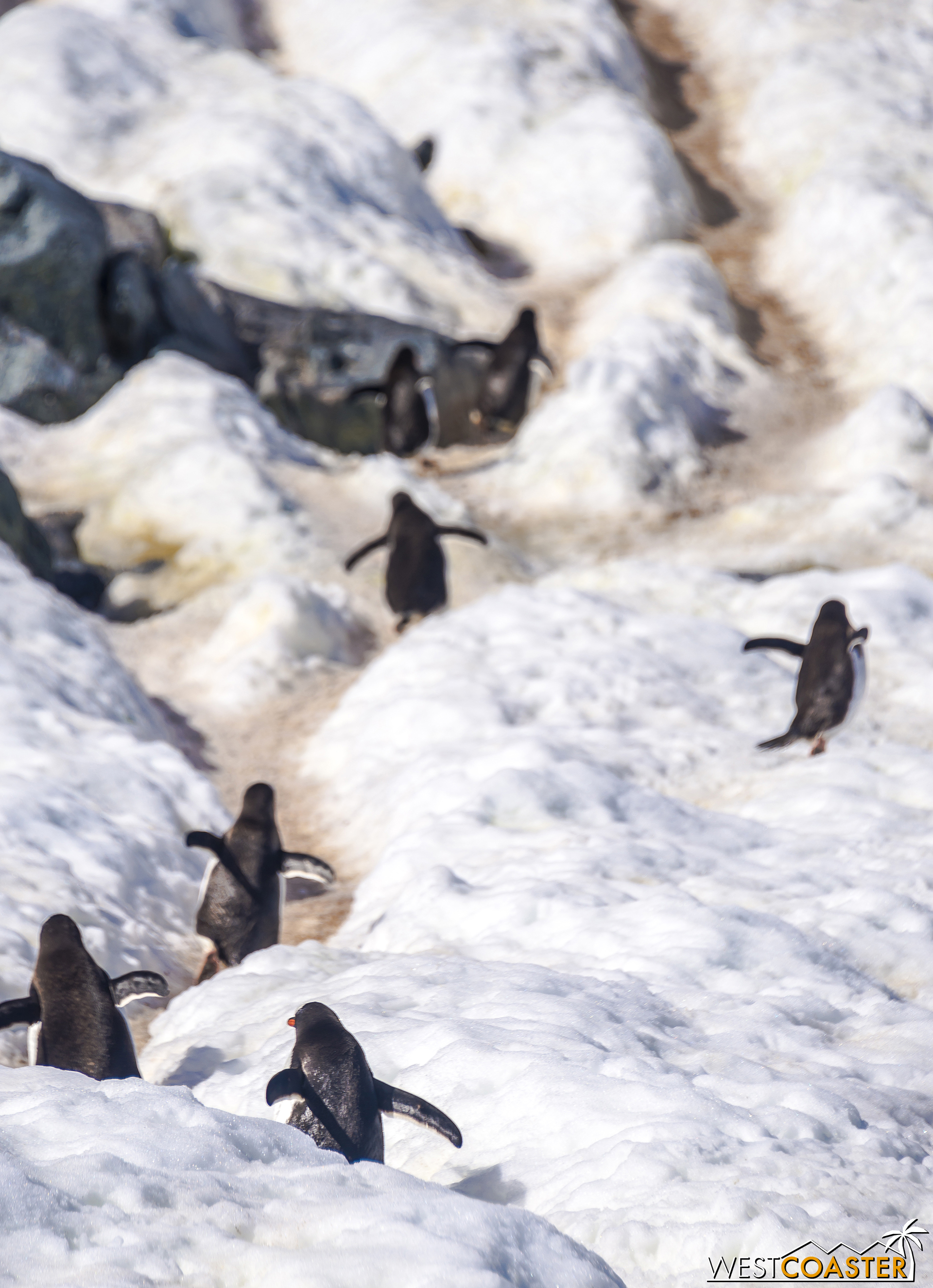 The little critters scurry up their penguin highways, back to their rookeries above.