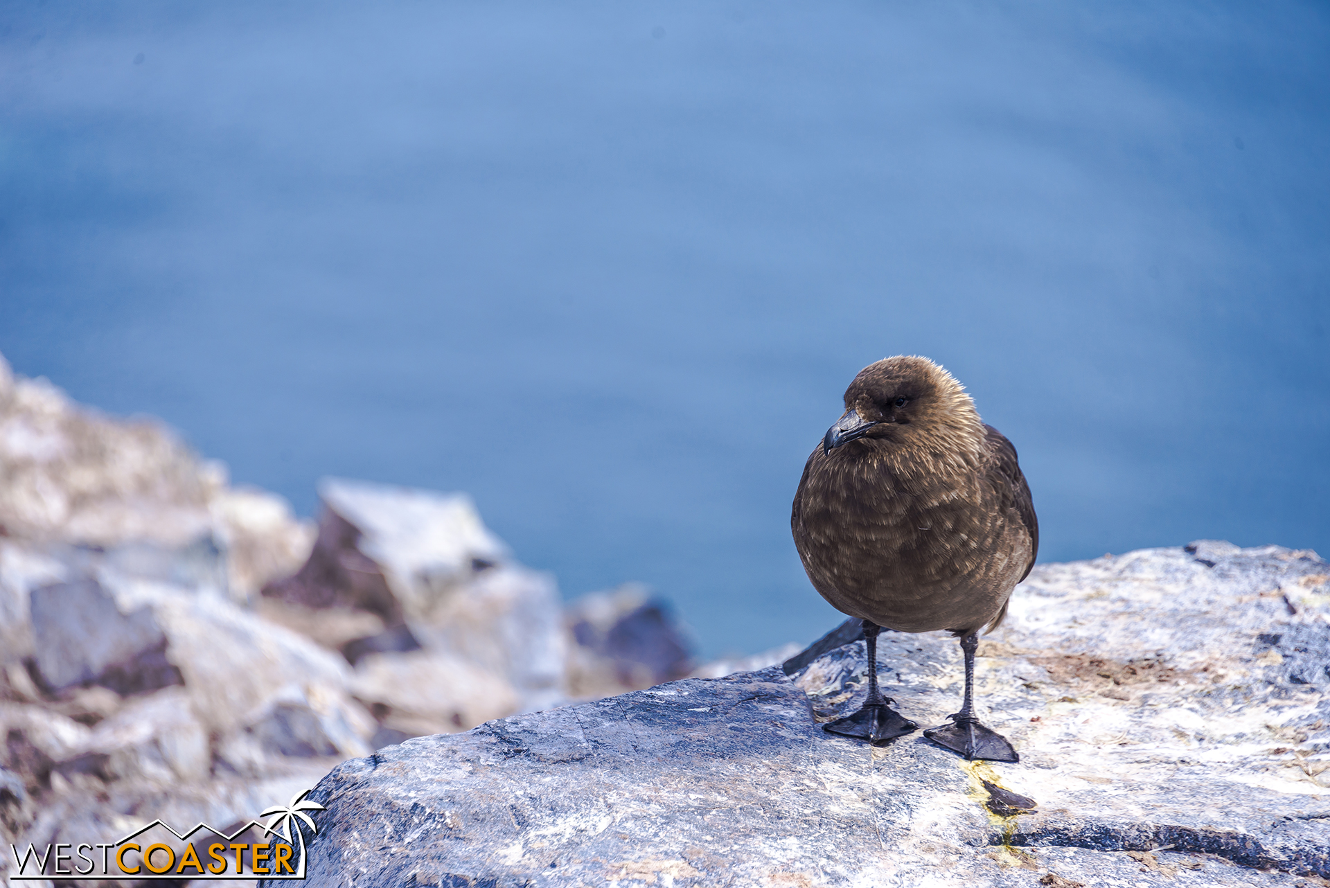 Penguins aren't the only birds around. This skua waits for a small chick to wander too far away from its parents.