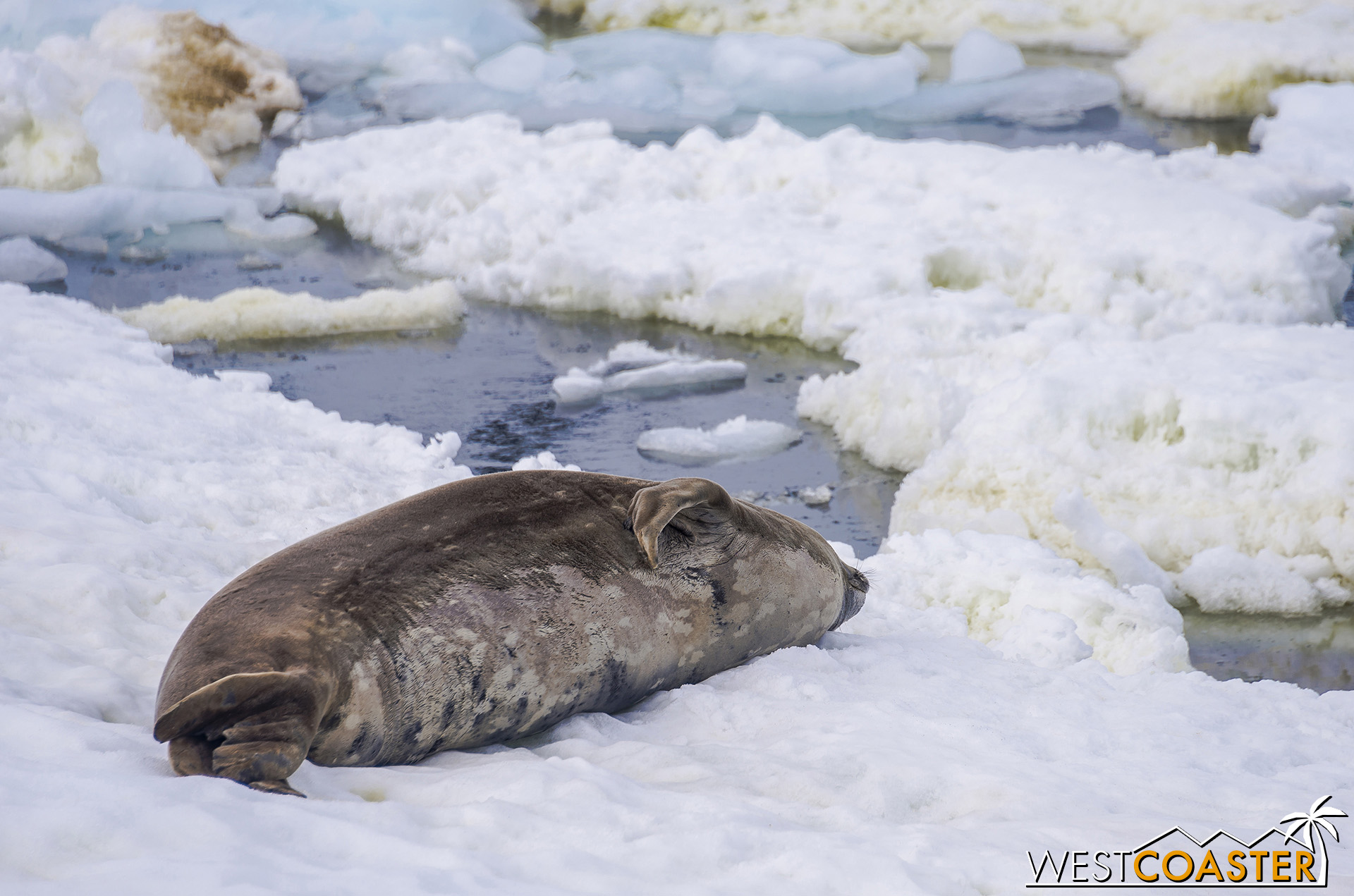 A Weddell seal naps nearby.
