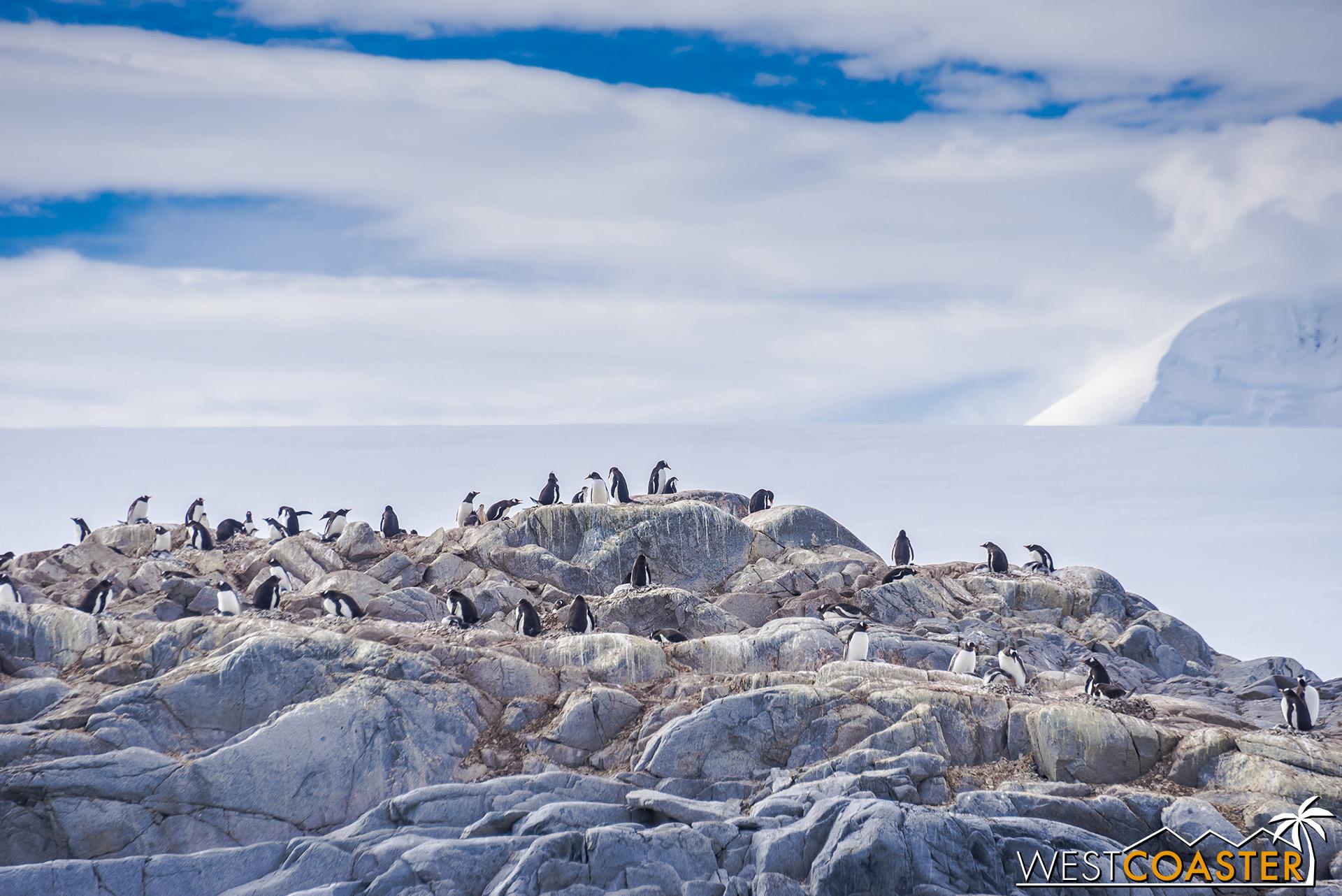More Gentoo penguins on the neighboring island.