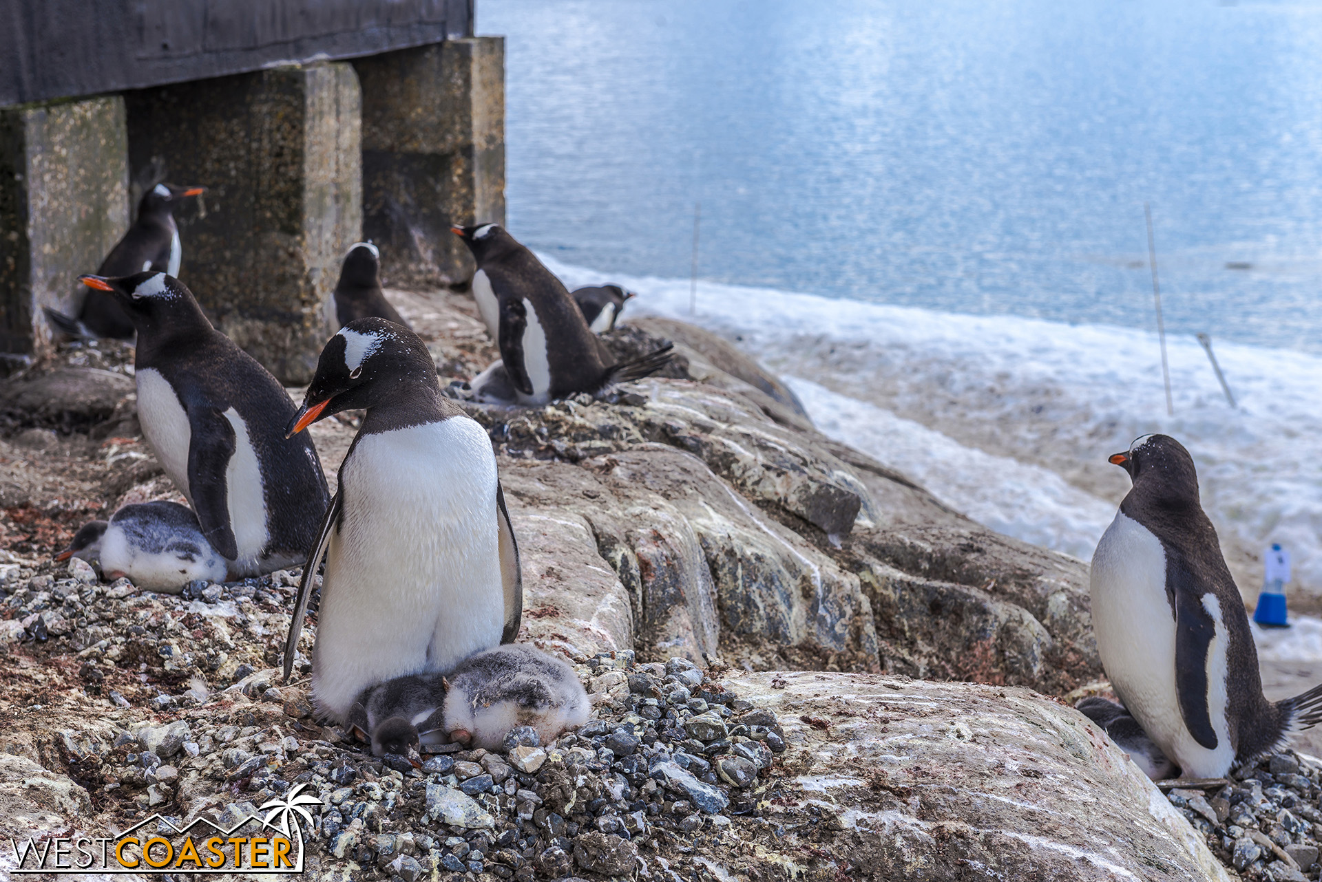 Penguins and penguin chicks nest just off the path.