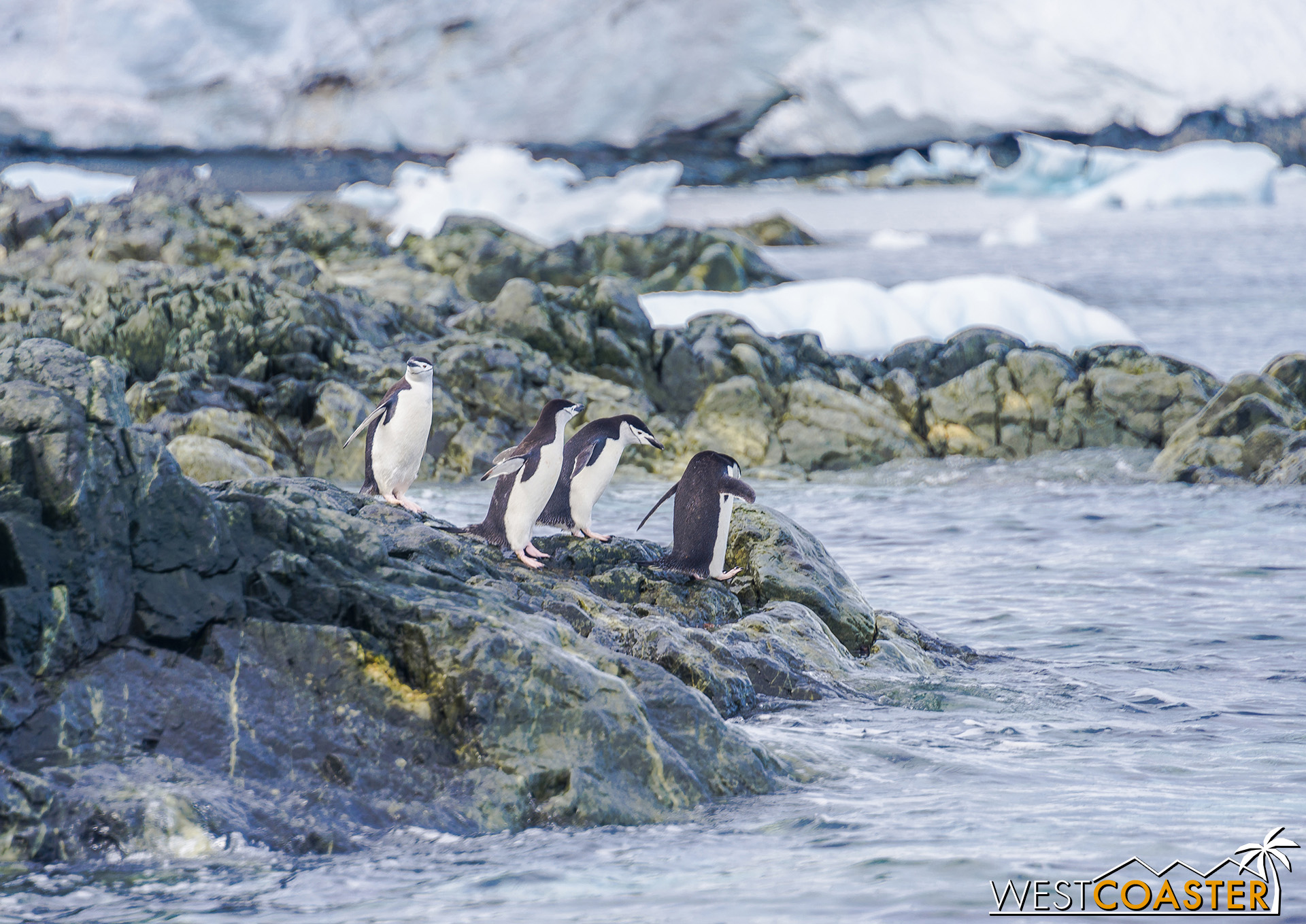 The Chinstrap penguins on the rocks fare better in their water entries.
