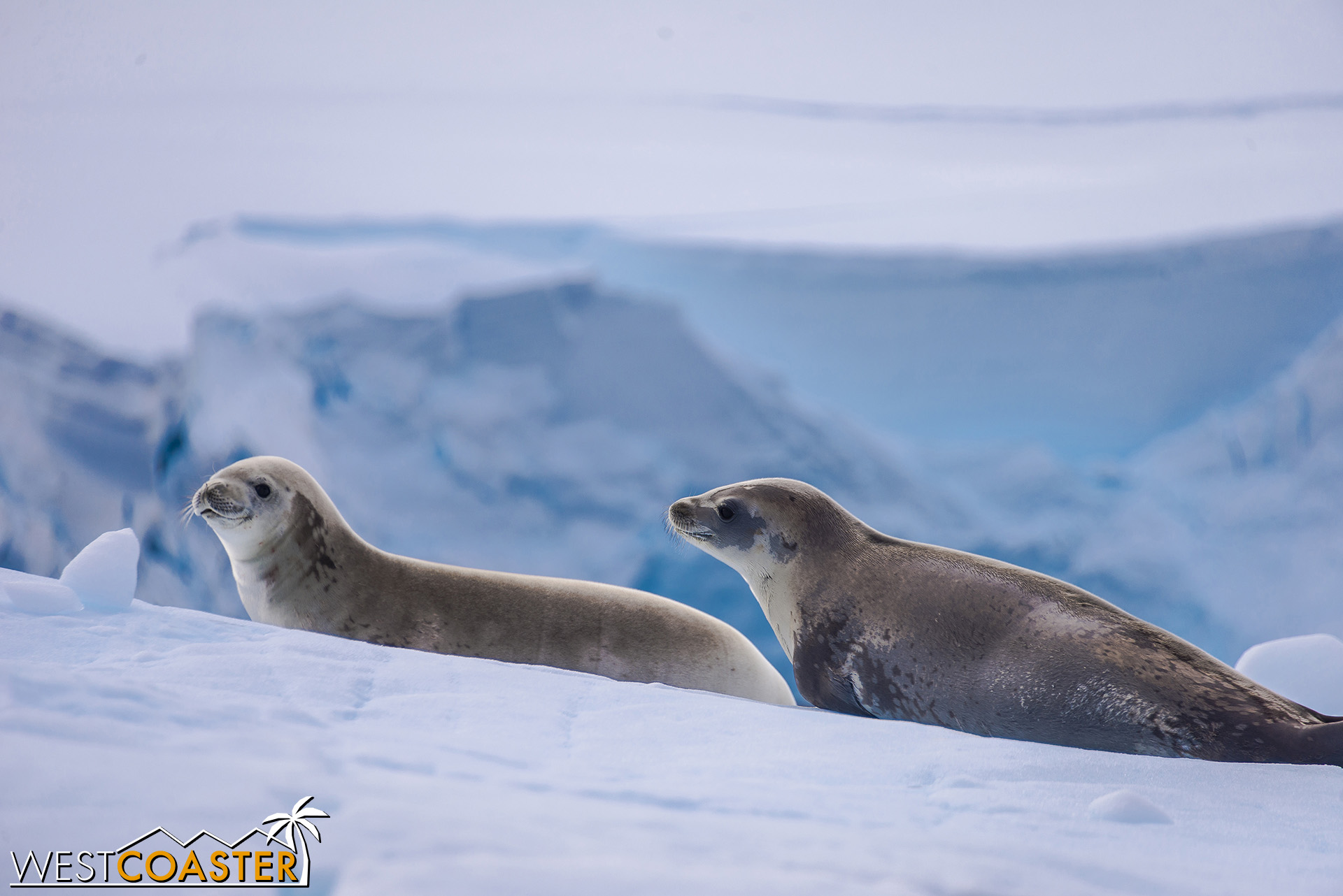 A couple of seals, resting on the ice.