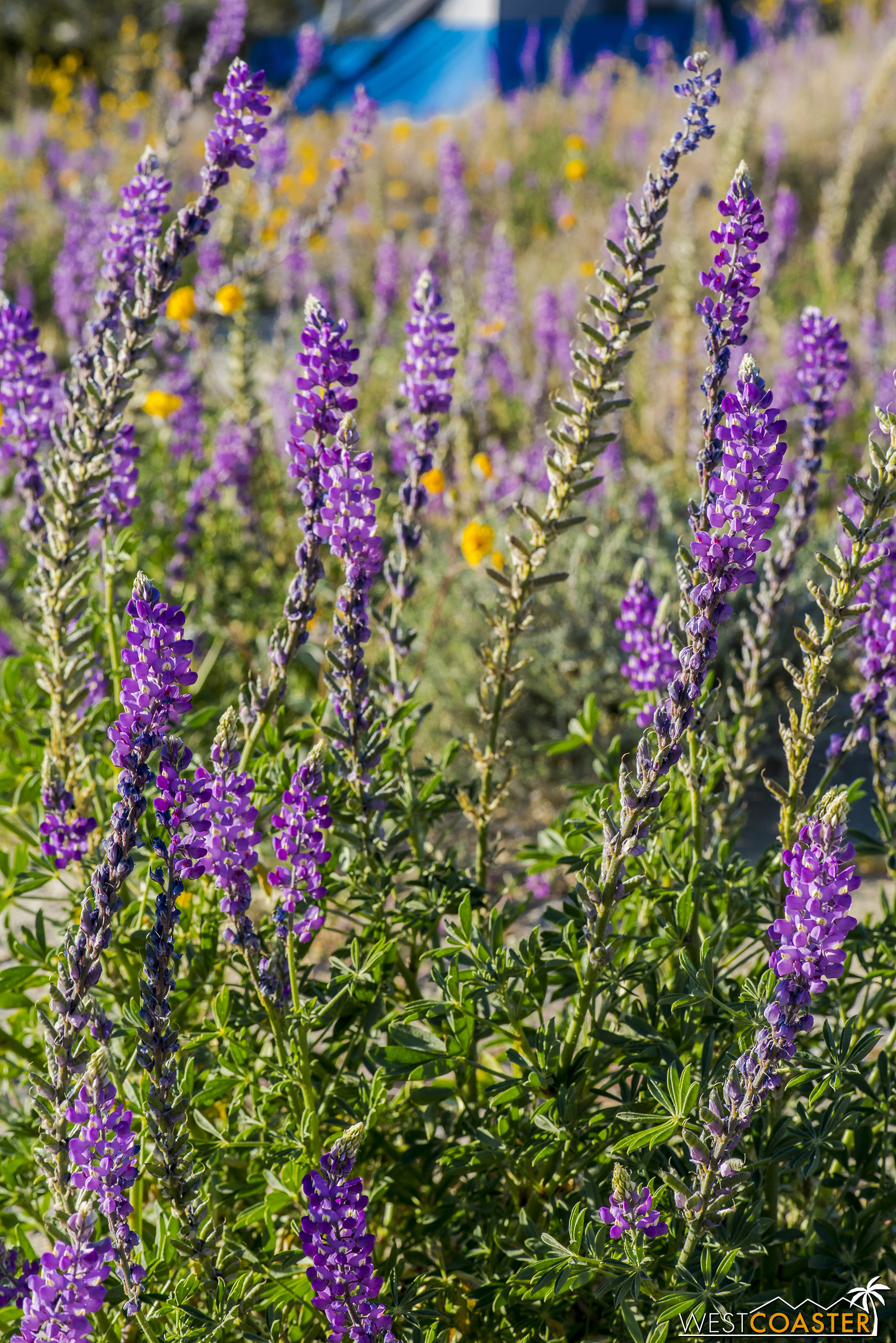 More lupine out here.  I love how crisp they look!