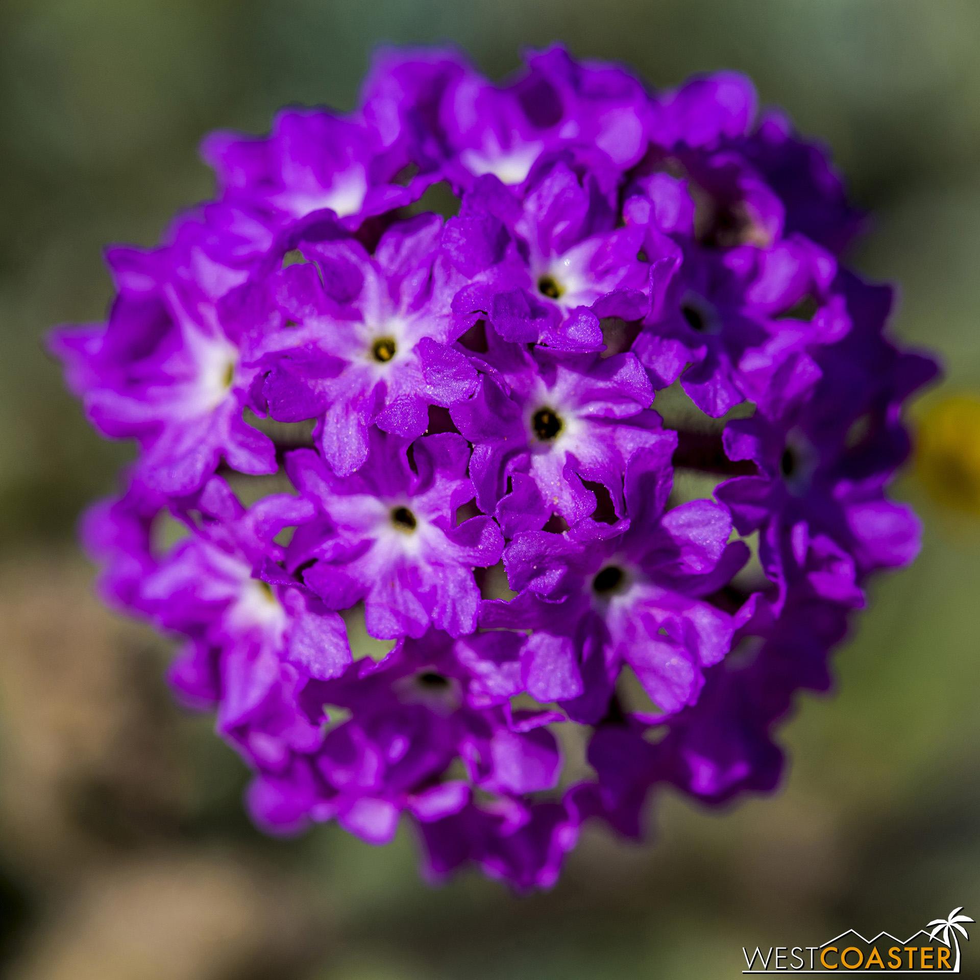 Desert sand verbena provide some great brushes of purplish pinks.