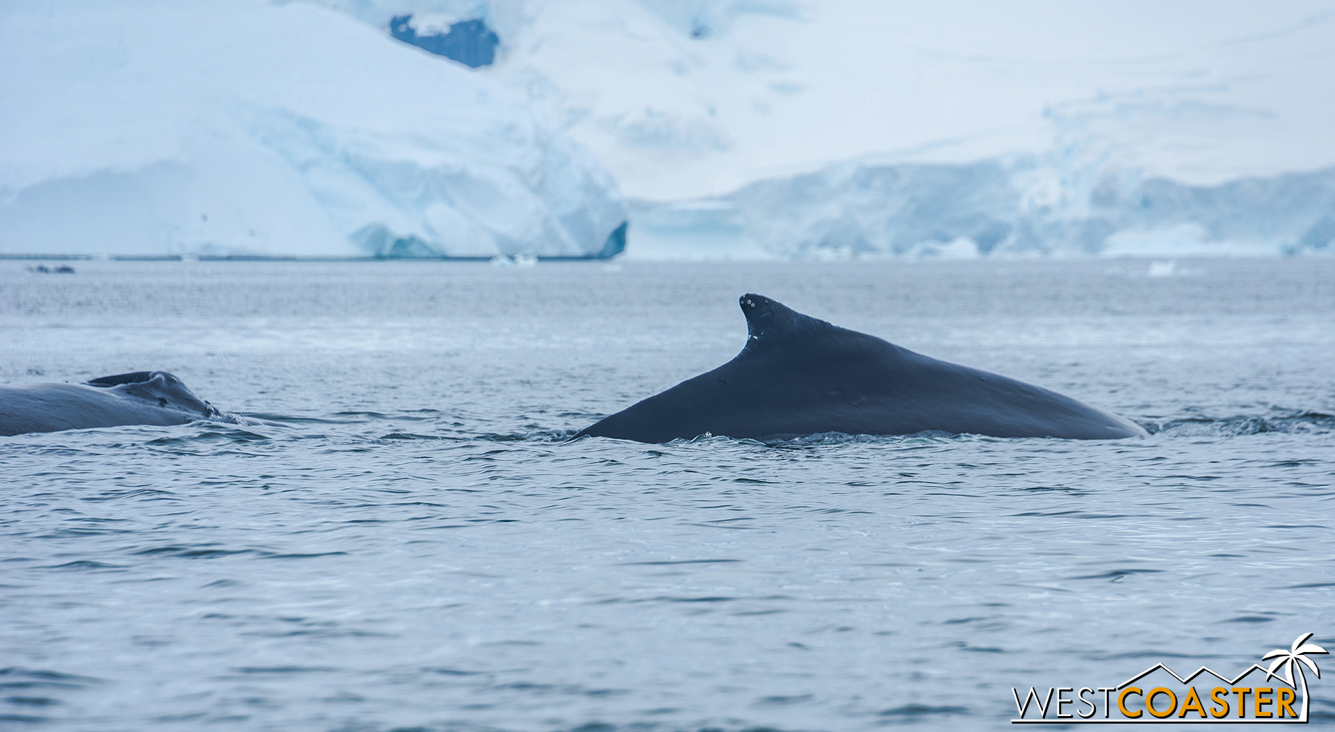 The fin of a humpback whale fluking in Neko Harbor.
