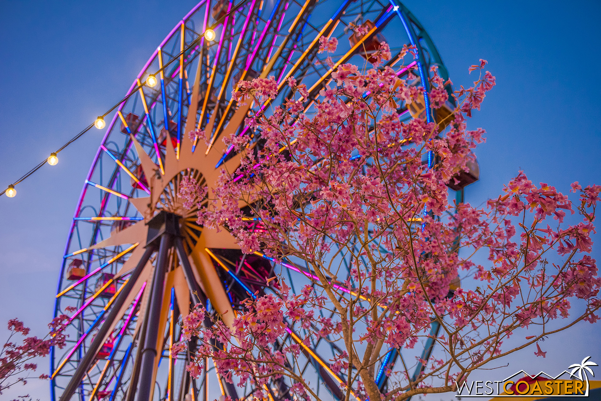 I think a lot of people conjure up Main Street's The Hub and Buena Vista Street as locations of Disney tabebuia trees, but Pixar Pier has them too!